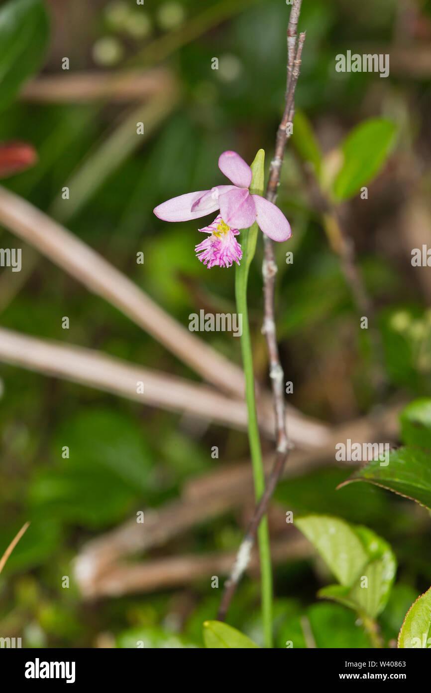 Rose Pogonia, Pogonia ophioglossoides Stock Photo
