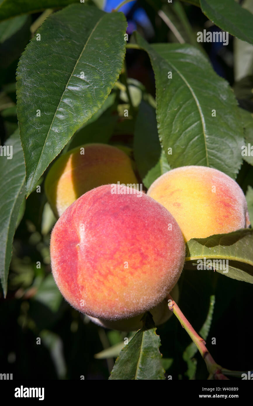 Fragrant peach in orchard ripen in summer - Stock Image