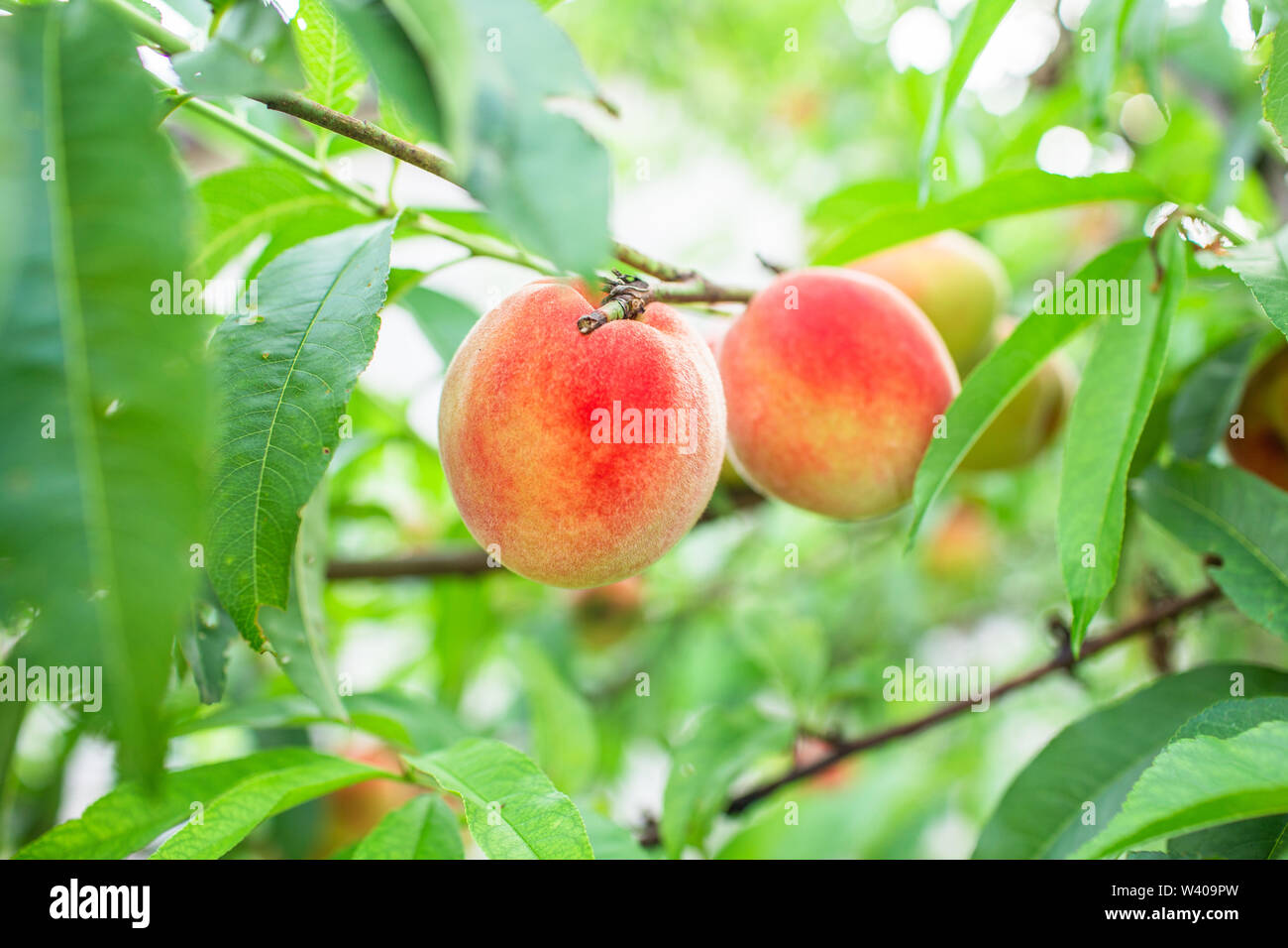 Close up Picture of the red riped peaches on the peach tree or in the organic farming orchard or home garden in summer before be picked up, sweet, del - Stock Image