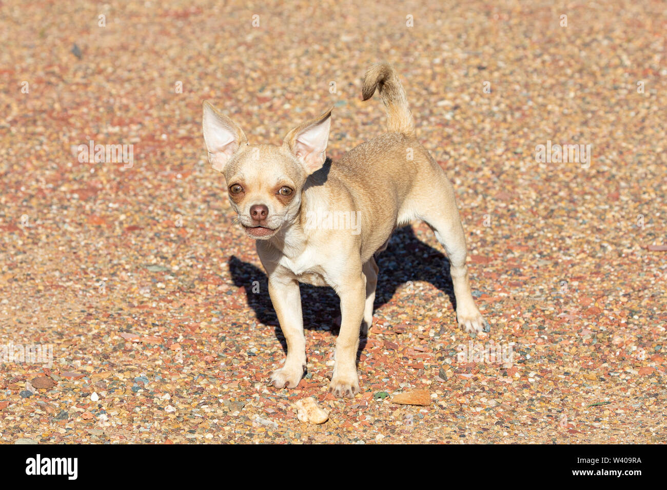 Feisty little fawn coloured pedigreed  male Chihuahua dog barking at the camera  outdoors on gravel protecting its property - Stock Image