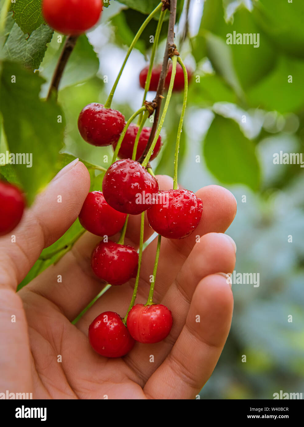 Bunch of few fresh ripe organic bright red cherries on tree branch. Fruits are in farmer's hand, surrounded by green leaves and covered by water drops - Stock Image