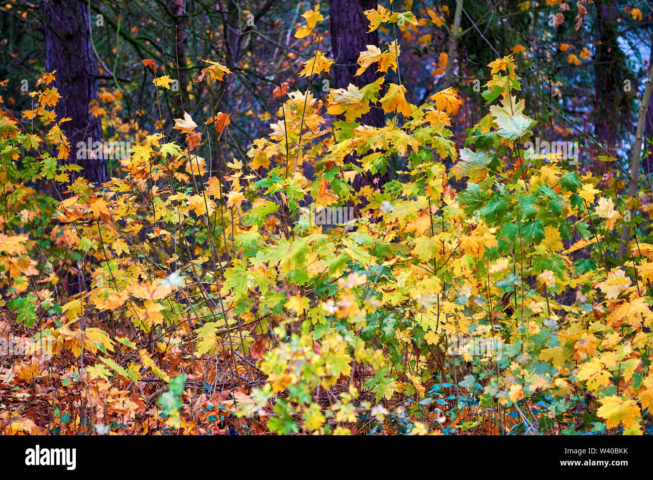 Autumn nature scene. Autumn landscape with leaves. - Stock Image