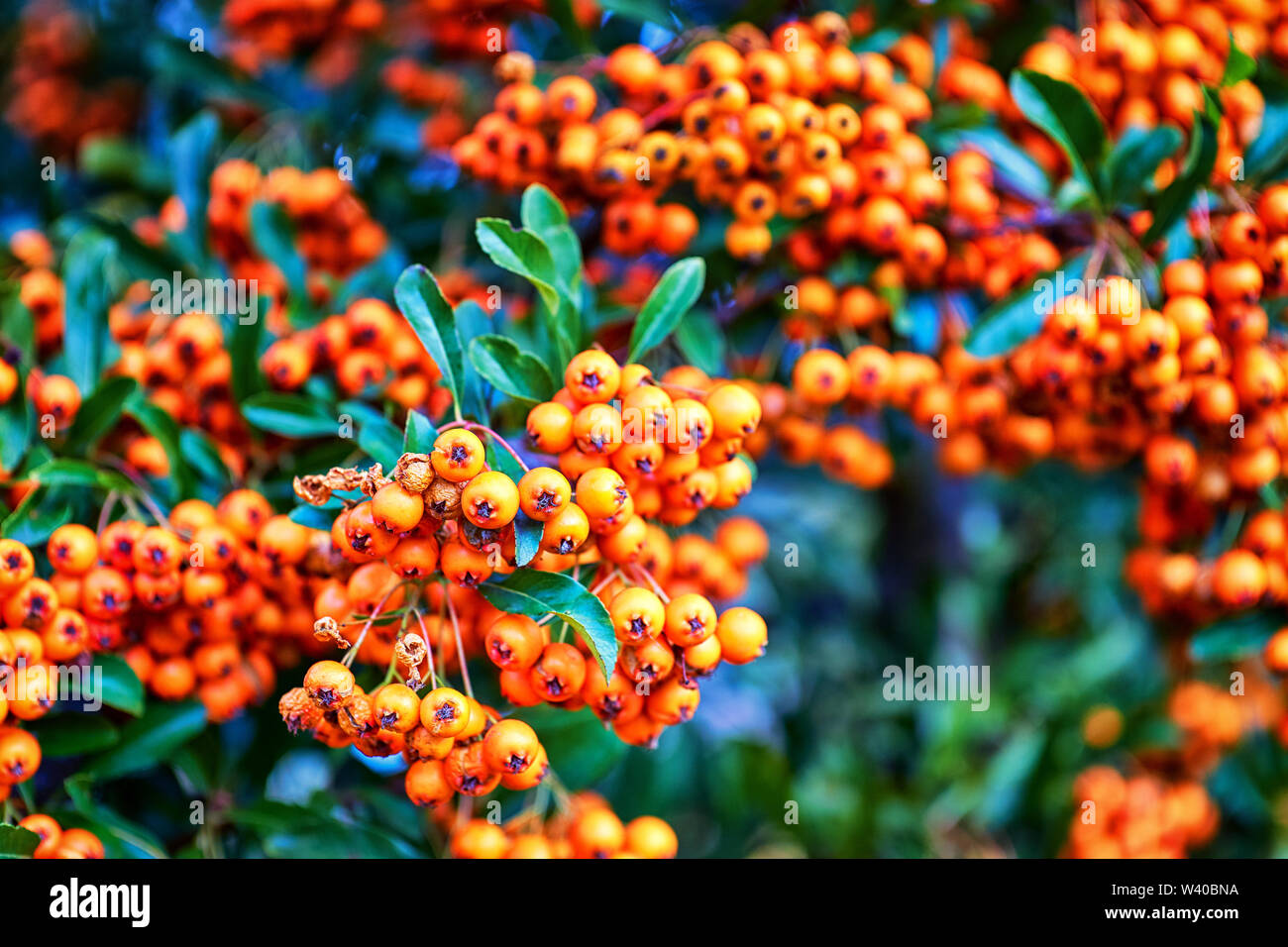 Ripe orange fruits of the sorbus aria in autumn with blurred background. - Stock Image