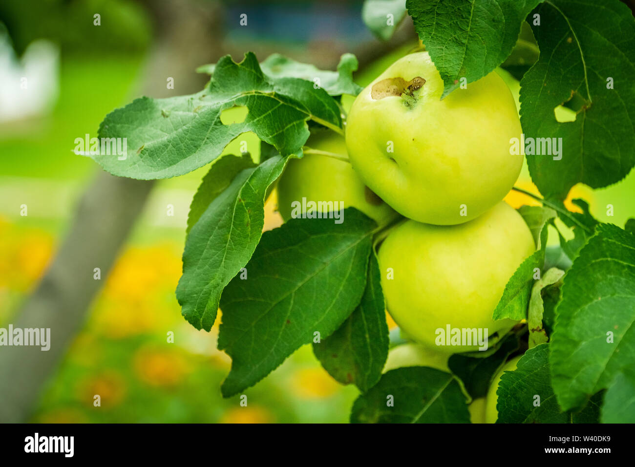 Bunch of green apples on a branch - Stock Image