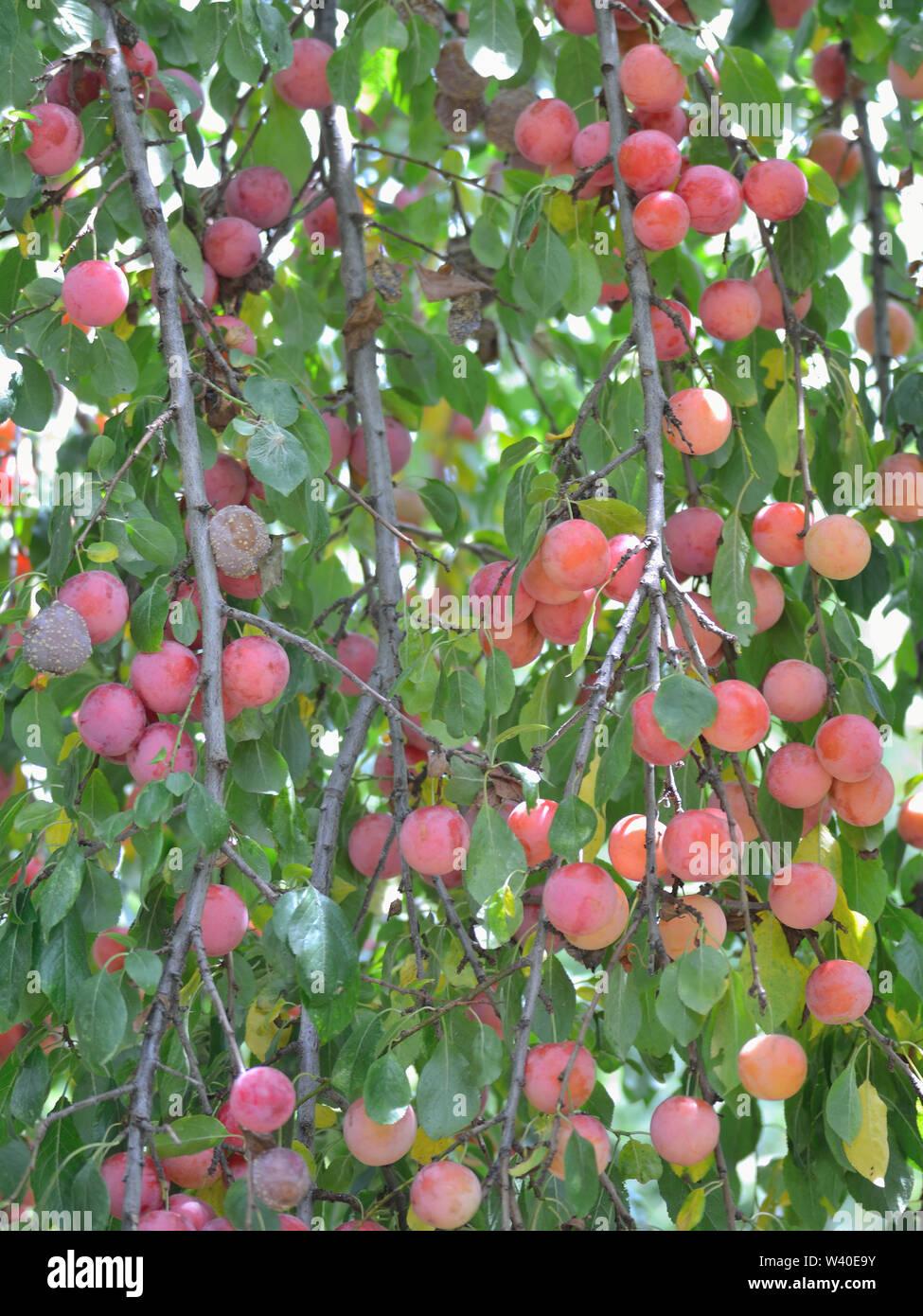 Plums on plum tree - Stock Image