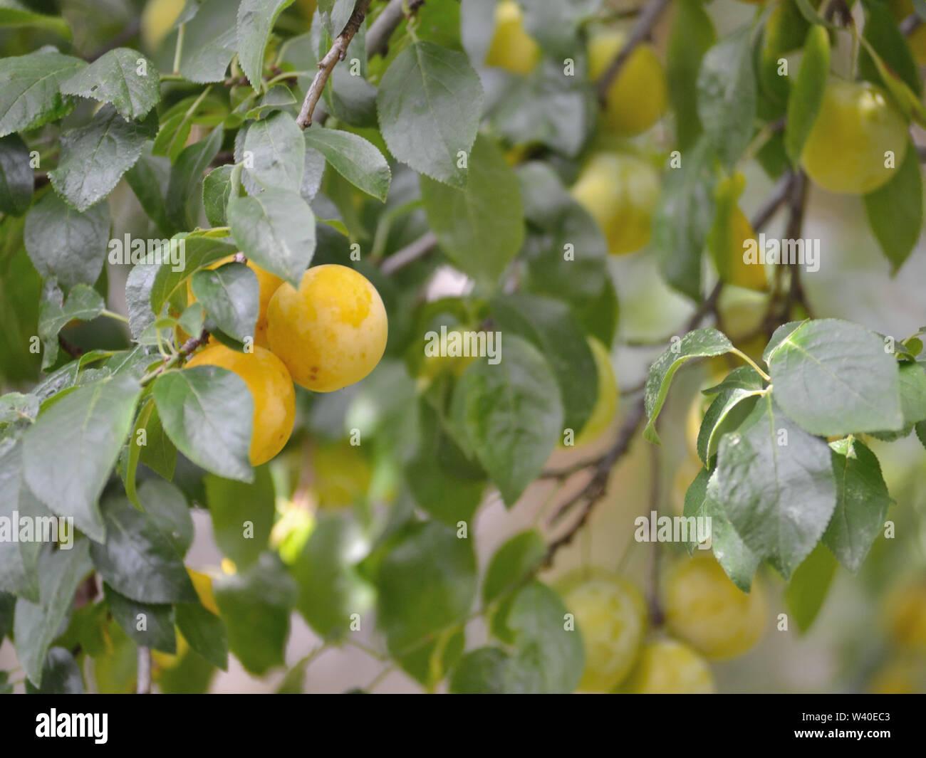 Yellow plums on plum tree - Stock Image