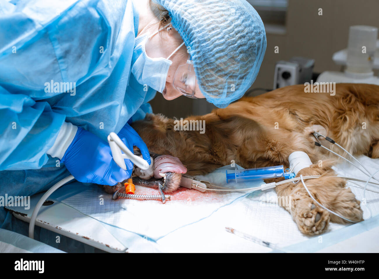 close-up procedure of professional teeth cleaning dog in a veterinary clinic. Anesthetized dog with sensor on tongue. Pet healthcare concept. - Stock Image