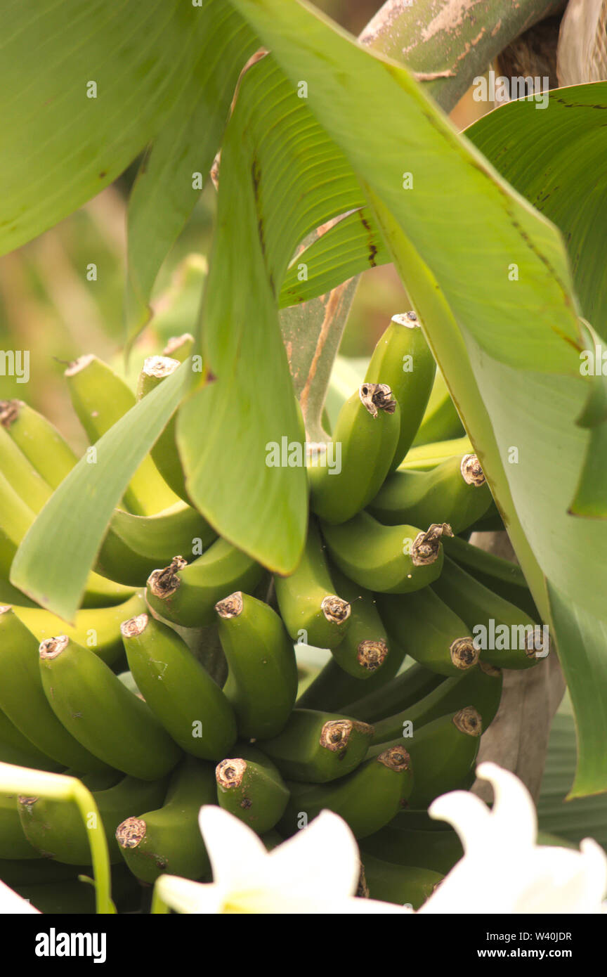 Branch of bananas hanging from the tree, of which one of its branches is seen crossing the image - Stock Image