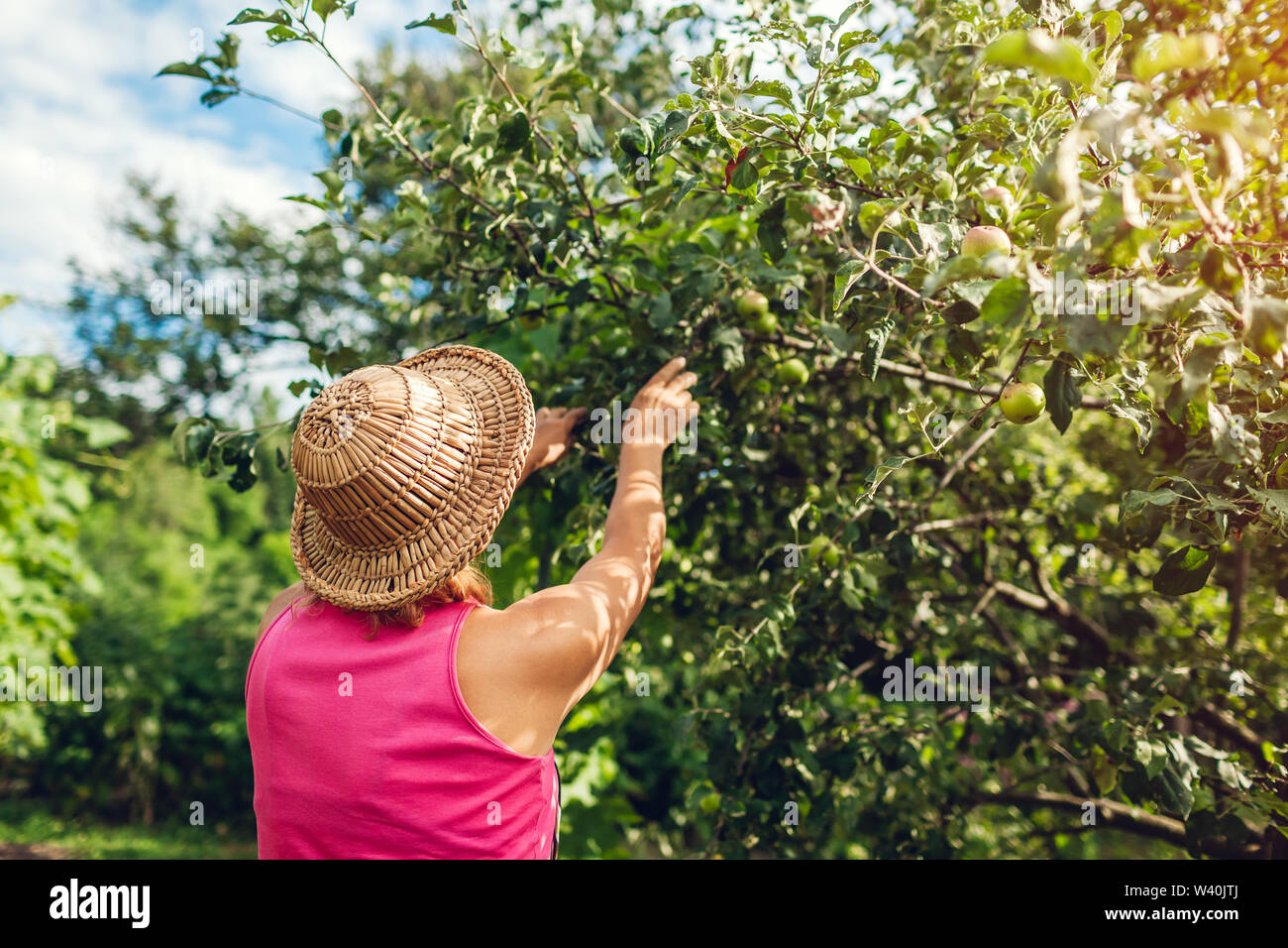 Senior woman checking unripe organic apples in summer orchard. Farmer taking care of fruit trees in garden - Stock Image