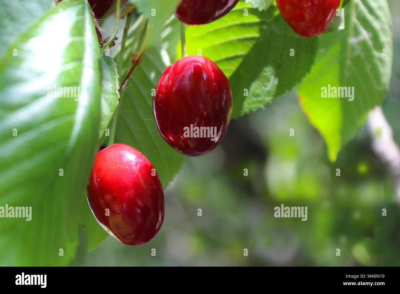 cherry tree branch with fruit and leaves - Stock Image