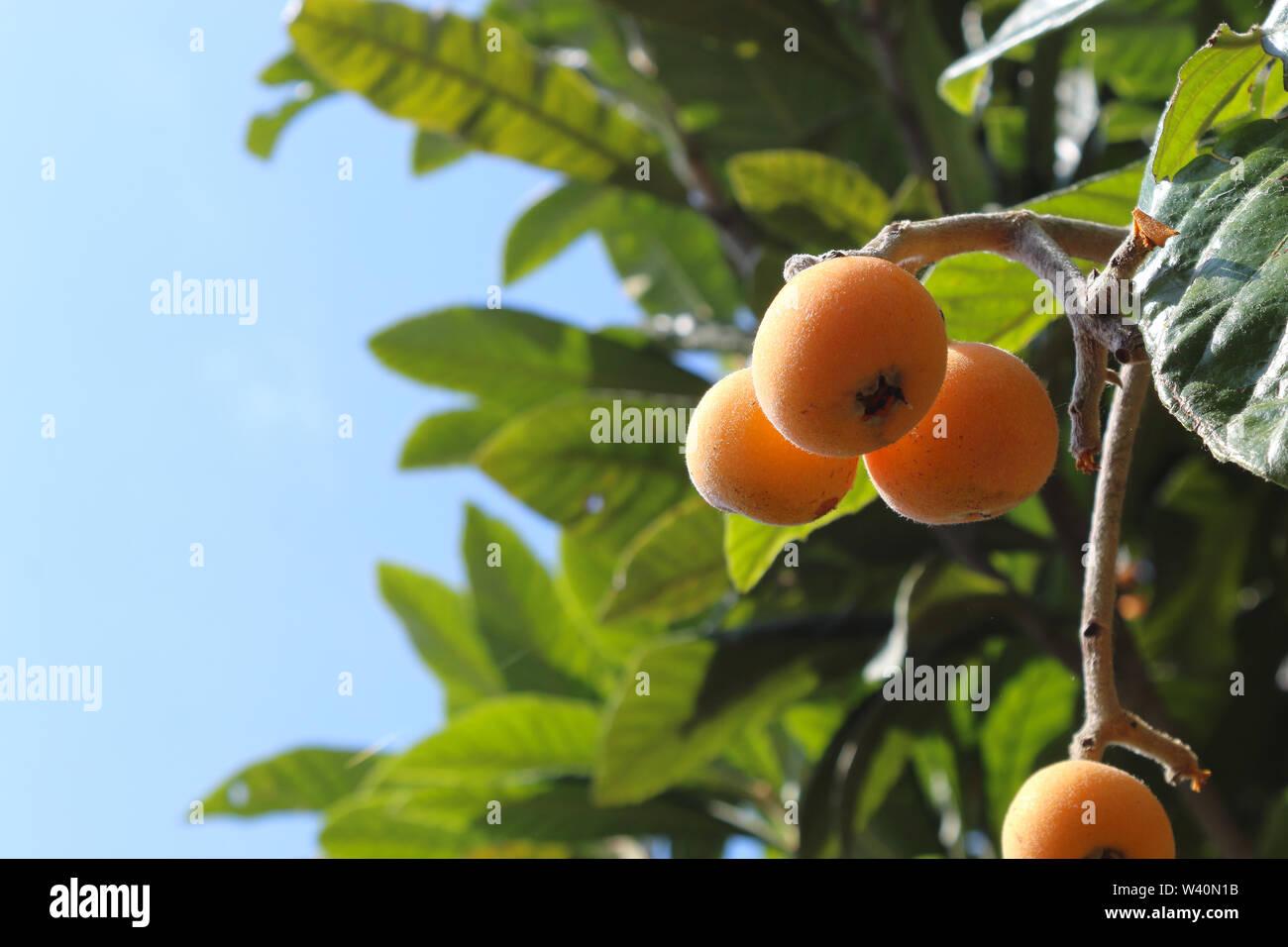 Ripe medlars on tree, healthy fresh summer fruit - Stock Image