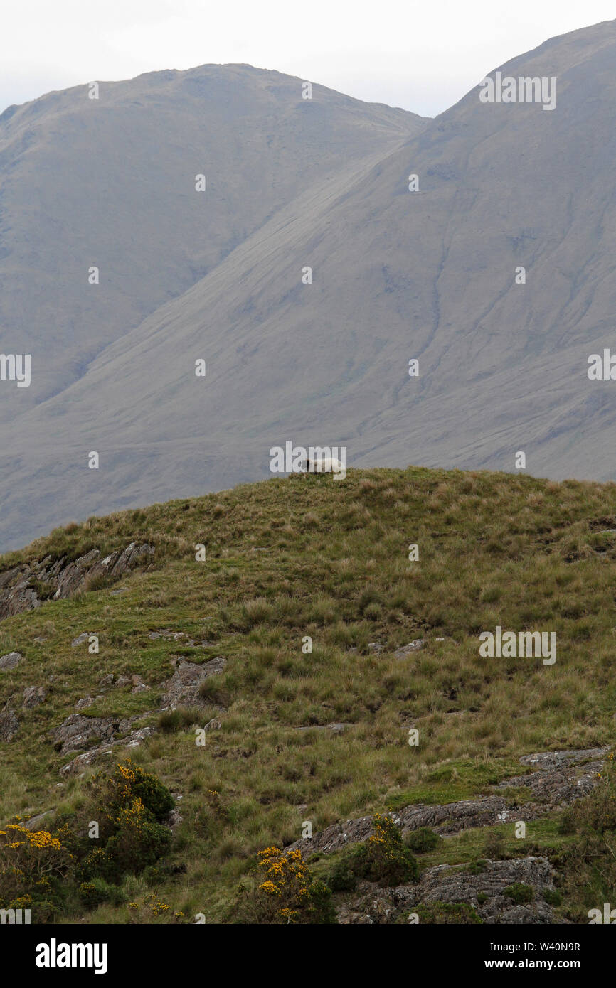 Single sheep lying on top of hill in Ireland on a grey day with the Sheeffry Mountains in the background. Stock Photo
