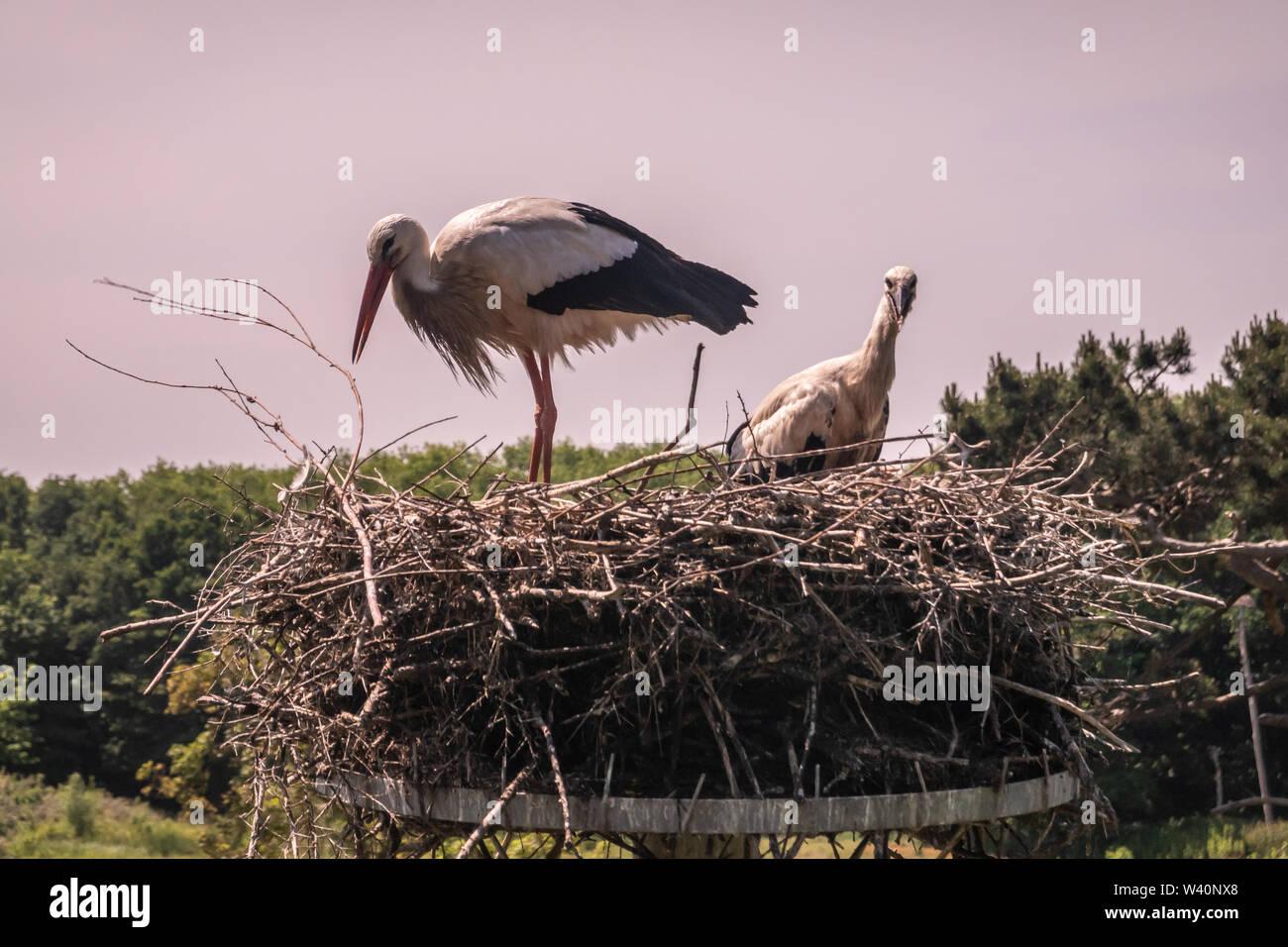 Knokke-Heist, Flanders, Belgium -  June 18, 2019: Zwin Bird Refuge. Closeup of adult stork and chick storks sitting on nest made on top of pillar agai - Stock Image