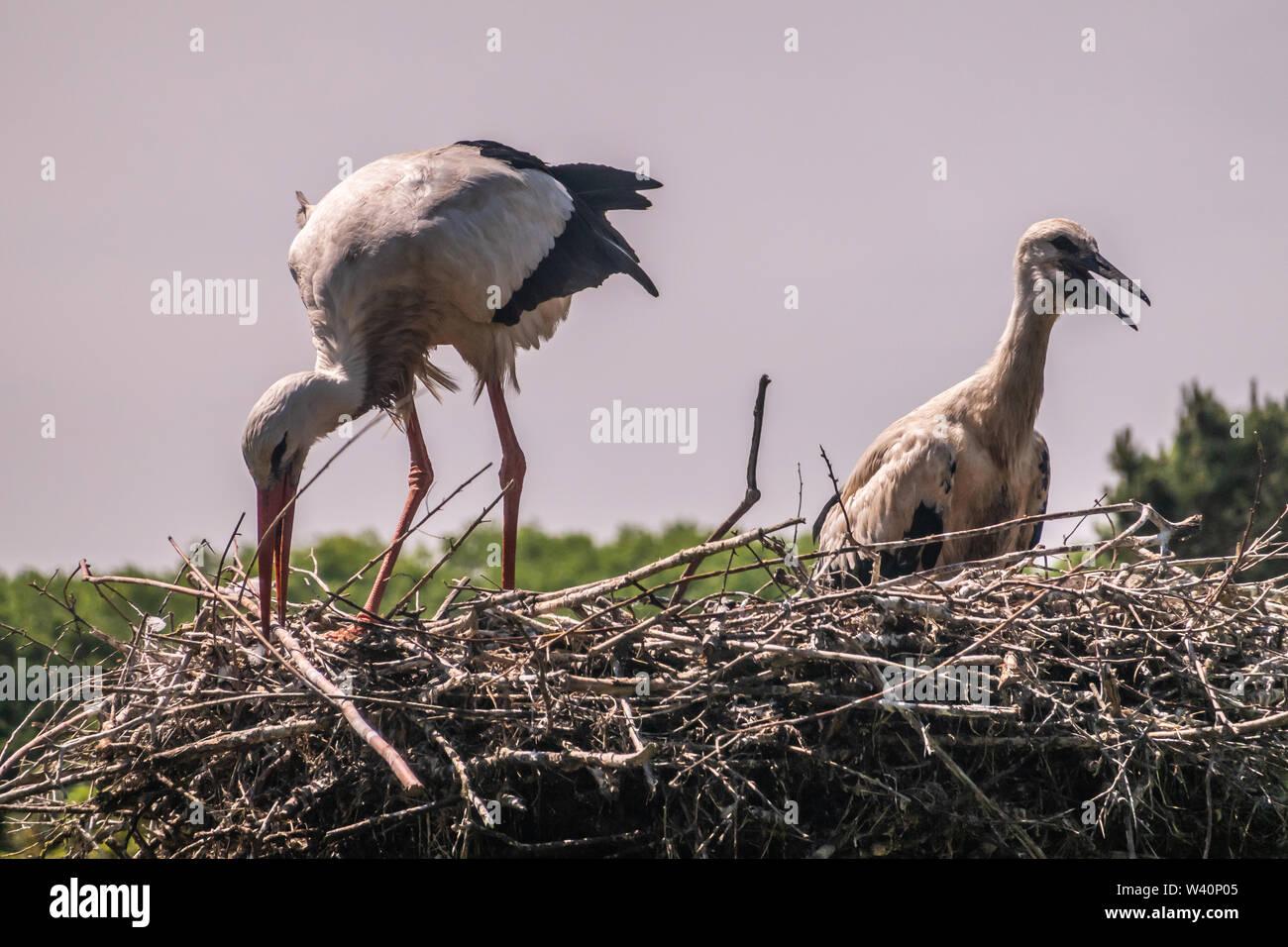 Knokke-Heist, Flanders, Belgium -  June 18, 2019: Zwin Bird Refuge. Closeup of adult stork adjusting nest plus chick against evening sky. green foliag - Stock Image