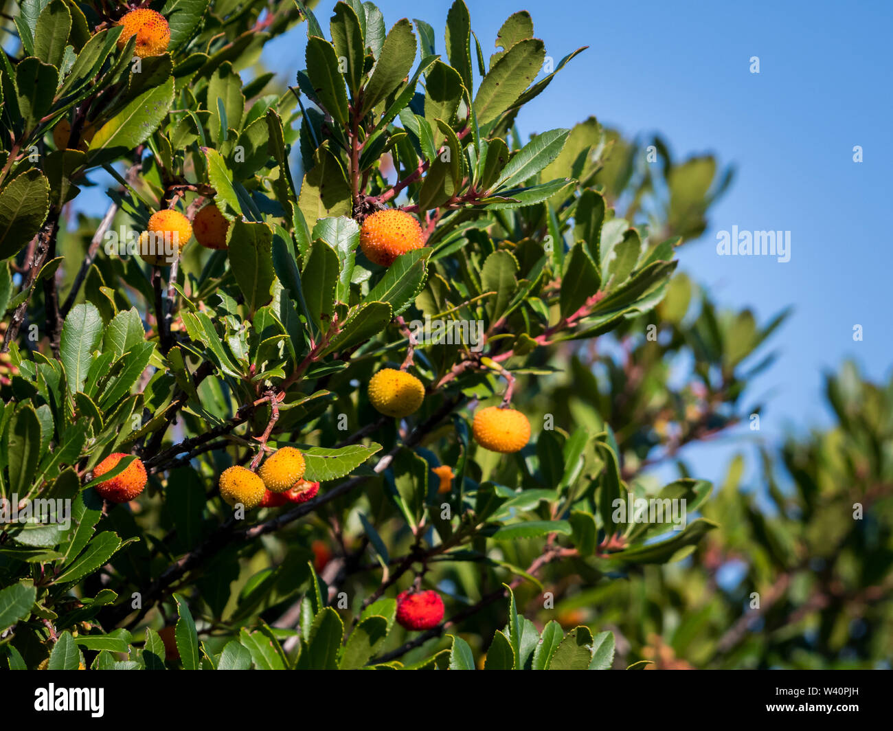 Closeup of a strawberry tree (Arbutus unedo, Ericaceae) on a sunny day in Croatia - Stock Image