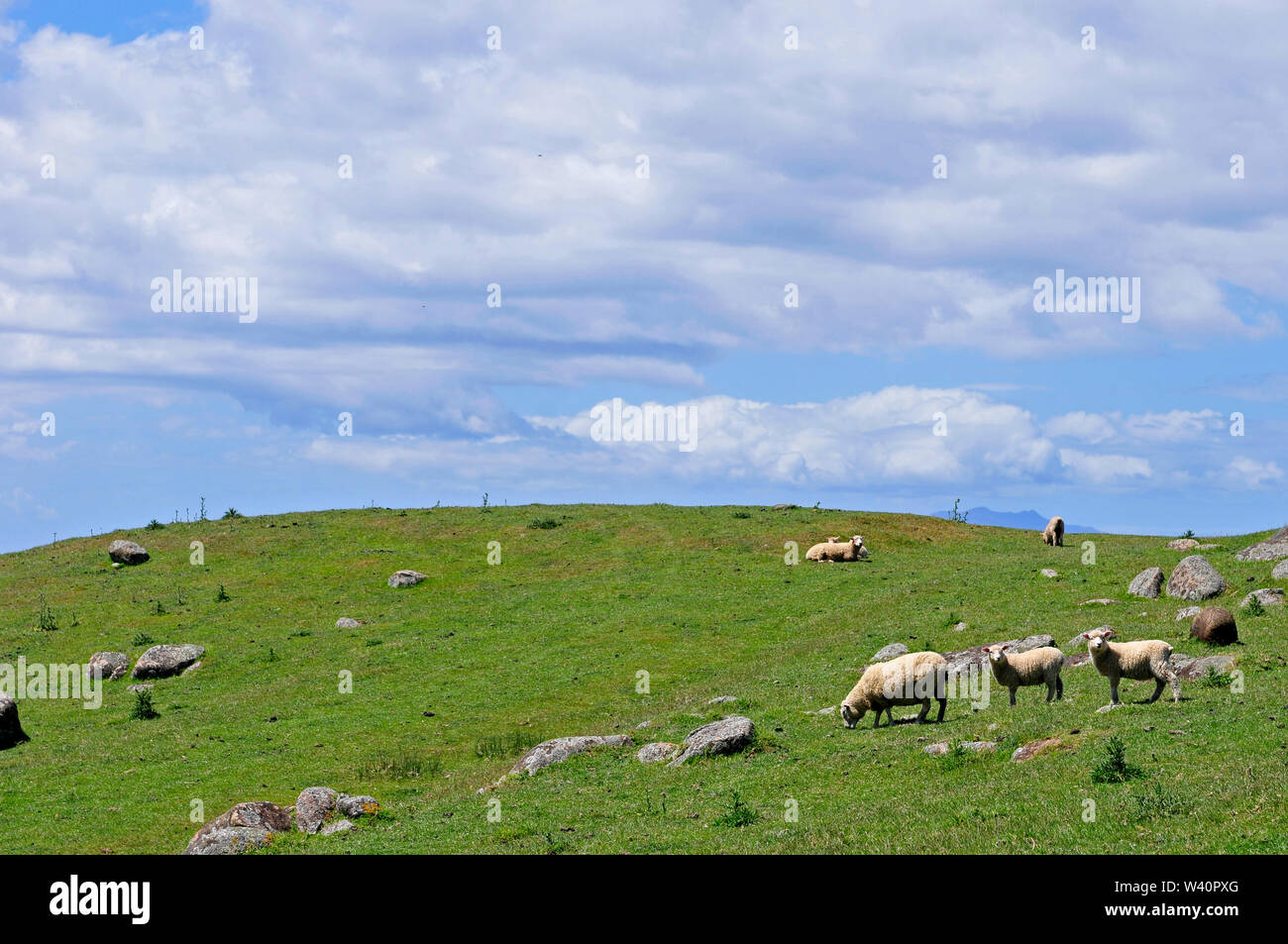 Kiwi land, sheep are relaxing on the lawn in a sunny day - Stock Image