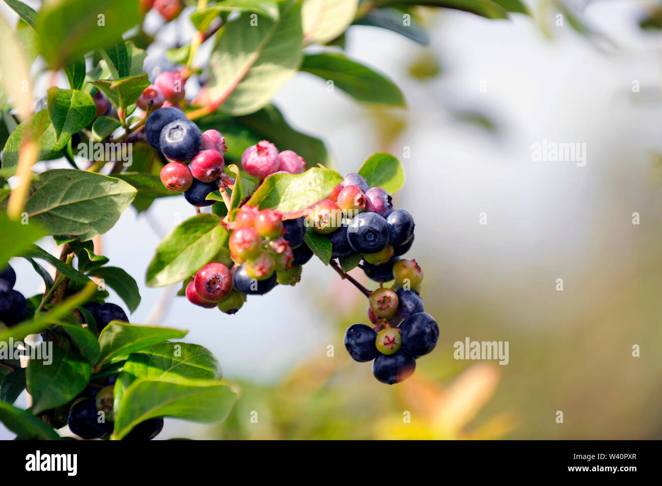 close up of a bunch of blueberries on tree - Stock Image