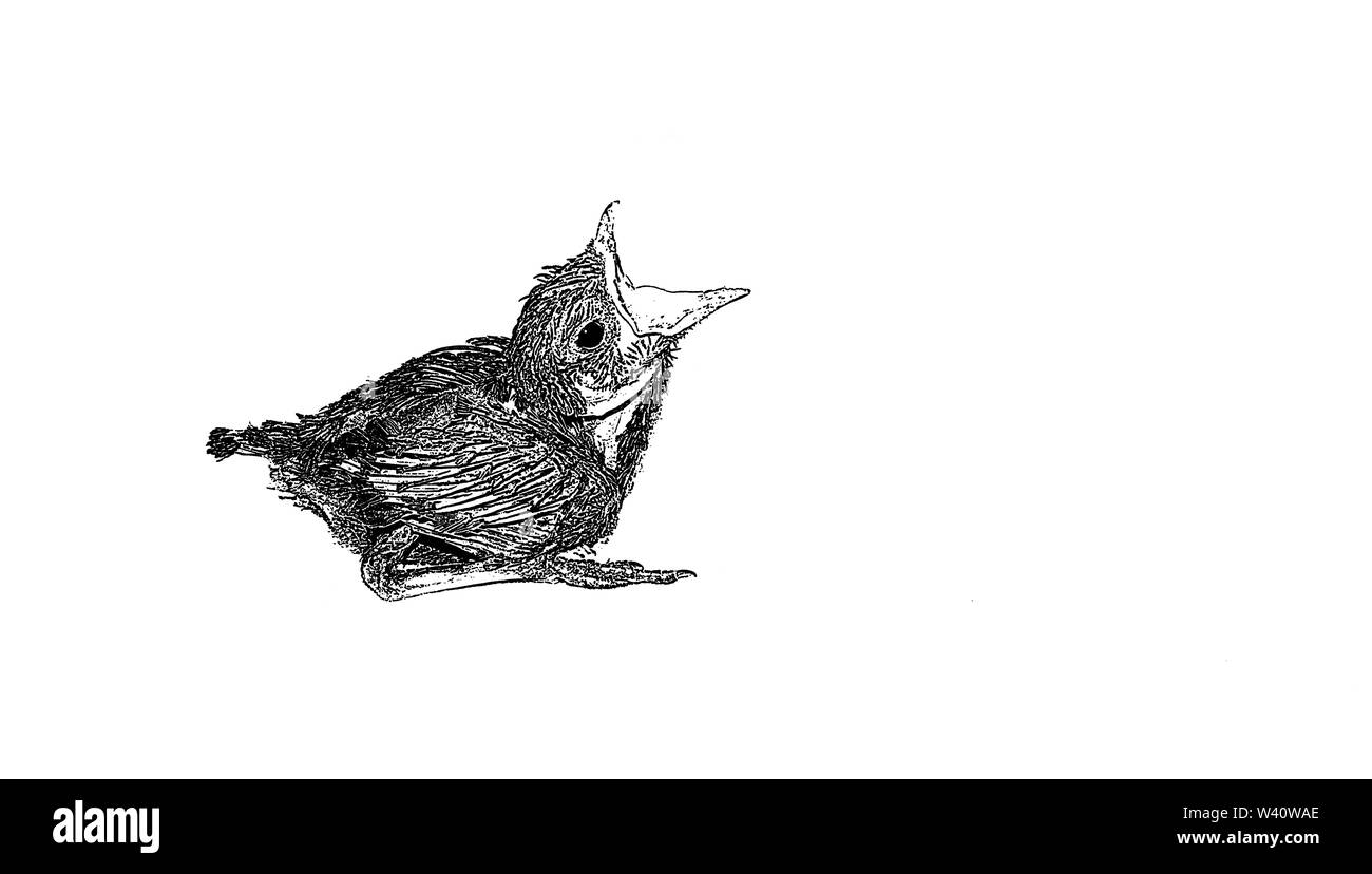 sketch of baby humming bird sitting on white sheet  opened mouth for feed,blurred background,vector illustration. Stock Photo