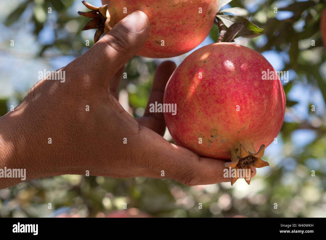 Man taking Ripe Colorful Pomegranate Fruit  fruit from a tree. Red pomegranate fruit on the tree in green leaves on blue sky background. - Stock Image