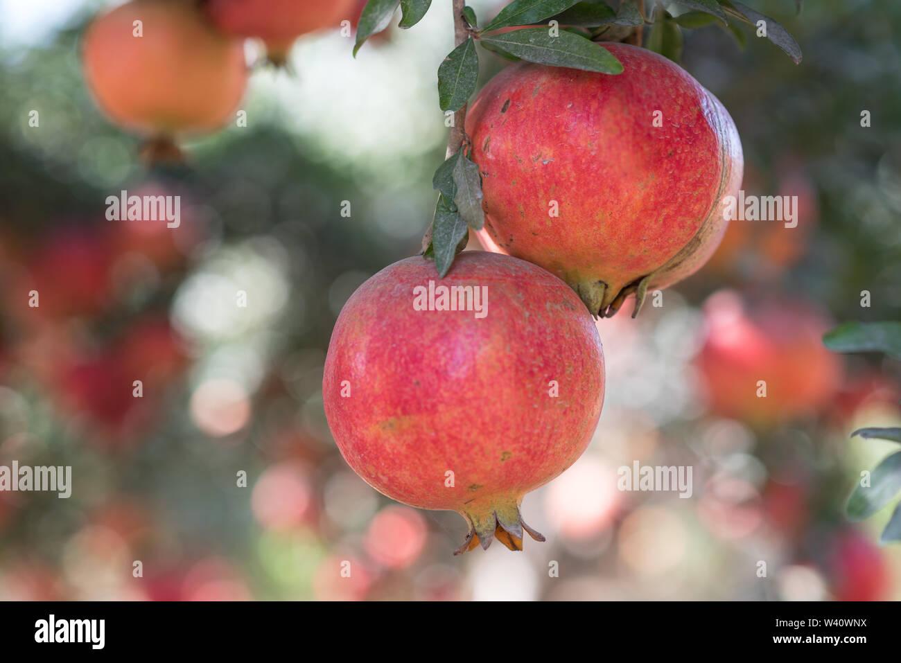Ripe Colorful Pomegranate Fruit on Tree Branch.  Red pomegranate fruit on the tree in green leaves on blue sky background. - Stock Image