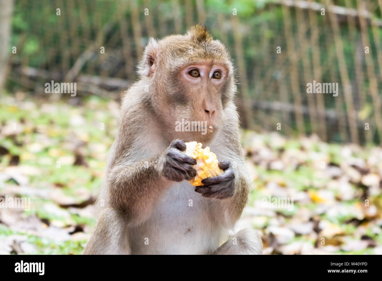 Monkey eating corn. The concept of animals in the zoo. Pattaya Zoo, Thailand - Stock Image