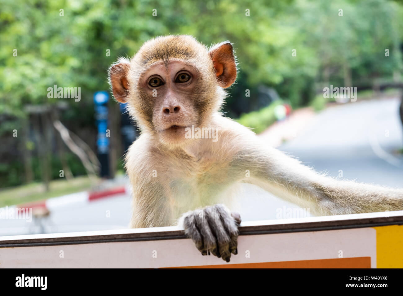 monkey. The concept of animals in the zoo. Pattaya Zoo, Thailand - Stock Image