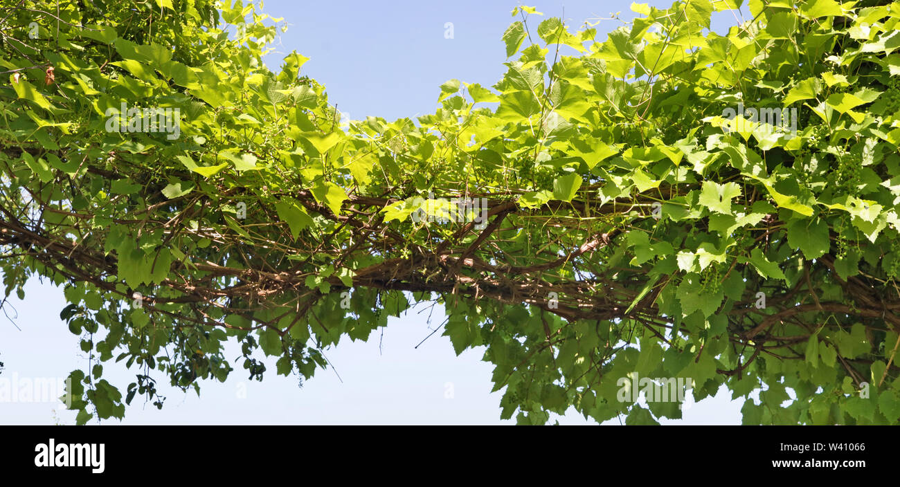 Long dense branches of green grapes against a blue sky. Panoramic summer June outdoor shot - Stock Image