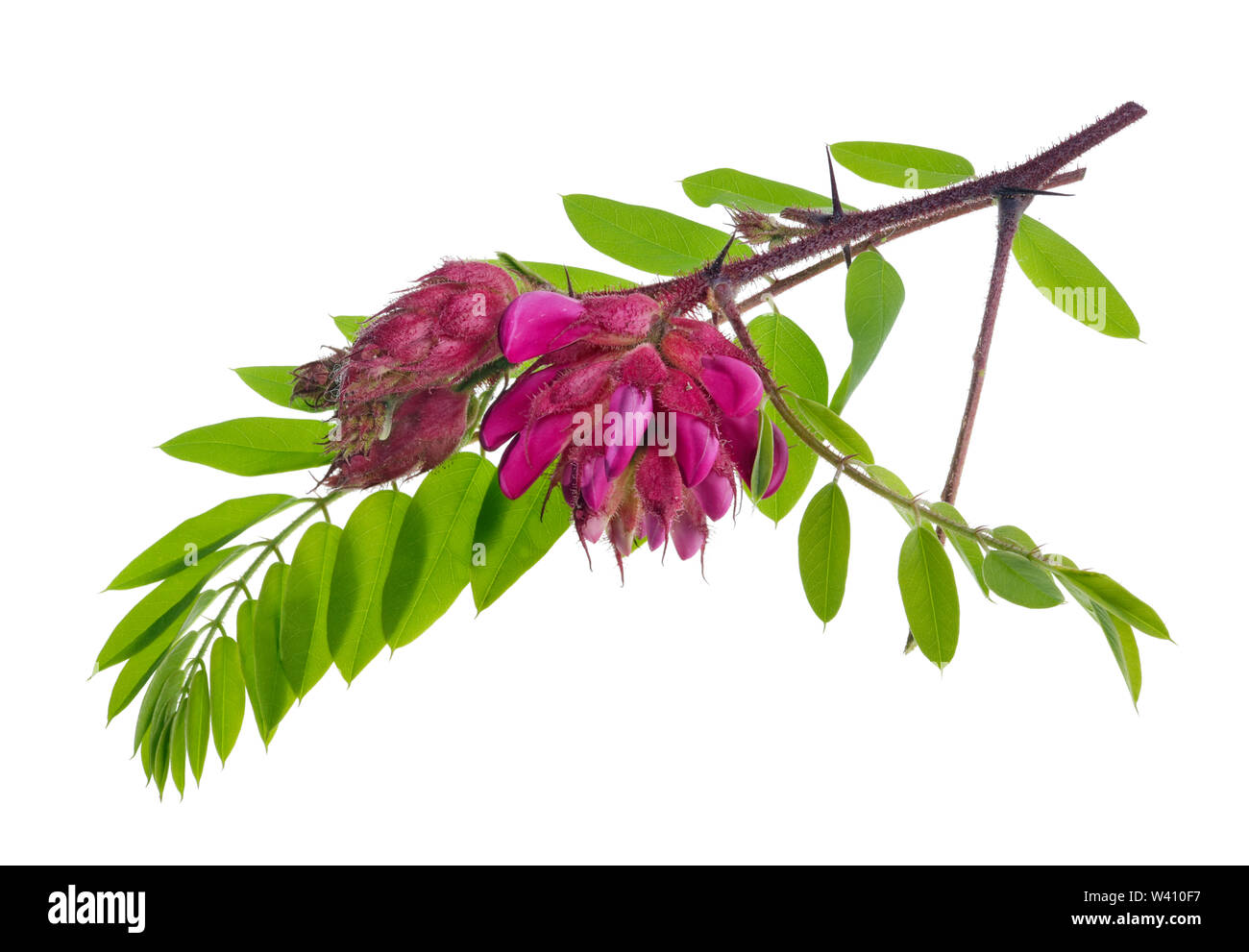 Bunch of  wild  forest prickly acacia tree red flowesr  on twigs . Isolated on white studio macro shot - Stock Image