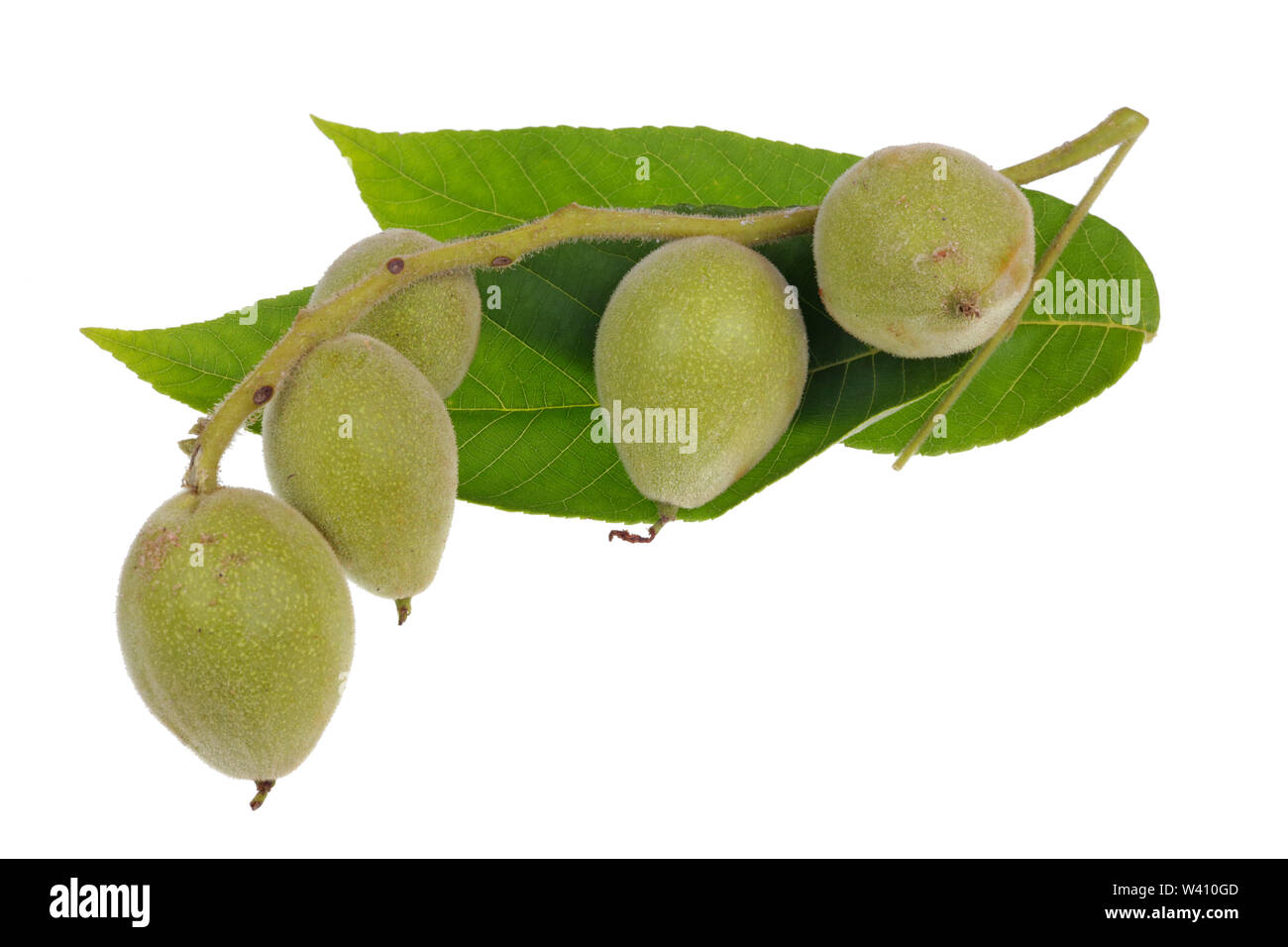 Five green unripe walnuts on one branch with leaves. Isolated on white studio macro - Stock Image