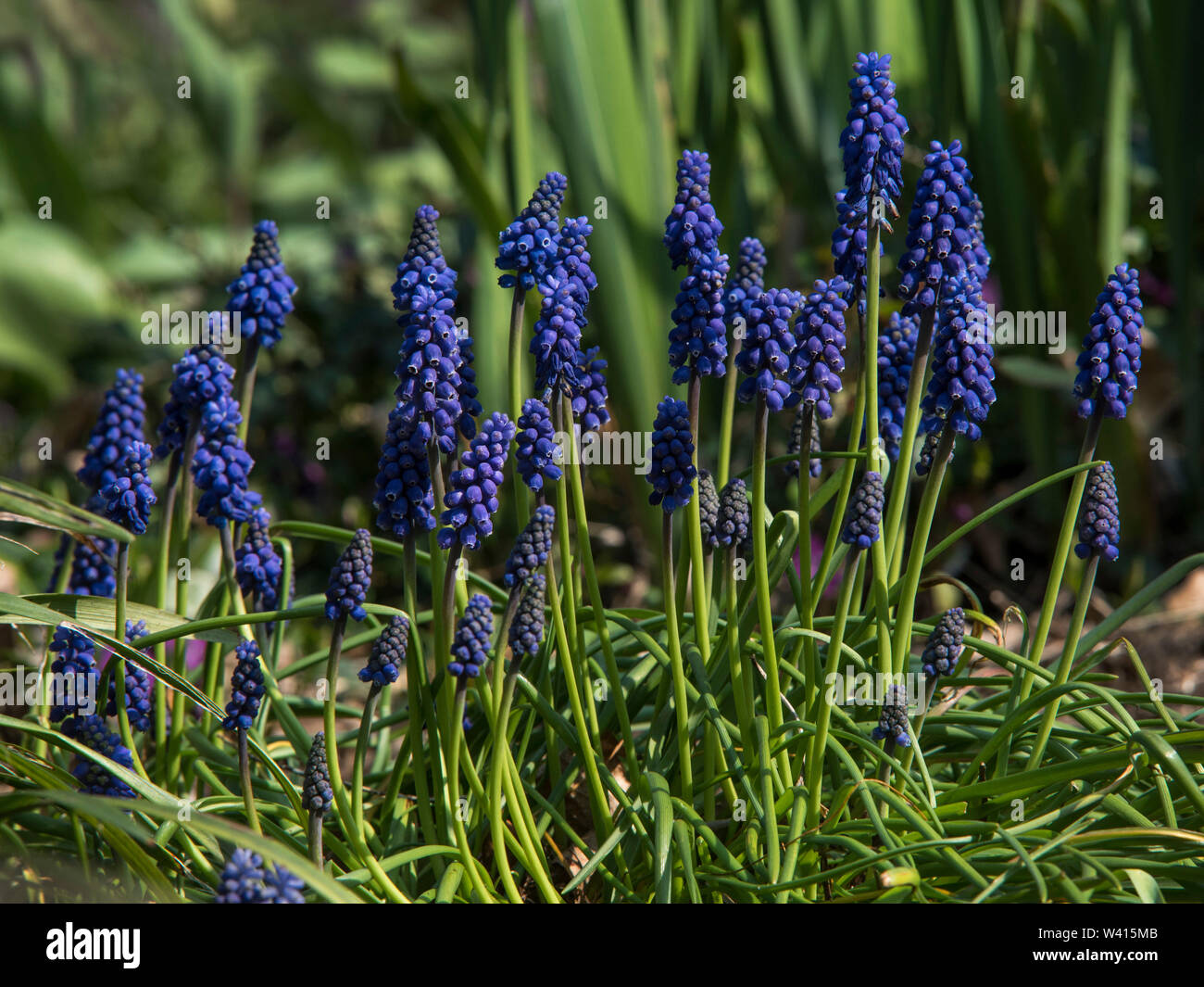 Grape Hyacinth (Muscari armeniacum) is a perennial bulb that blossoms into urn-shaped flowers in the Spring. Stock Photo