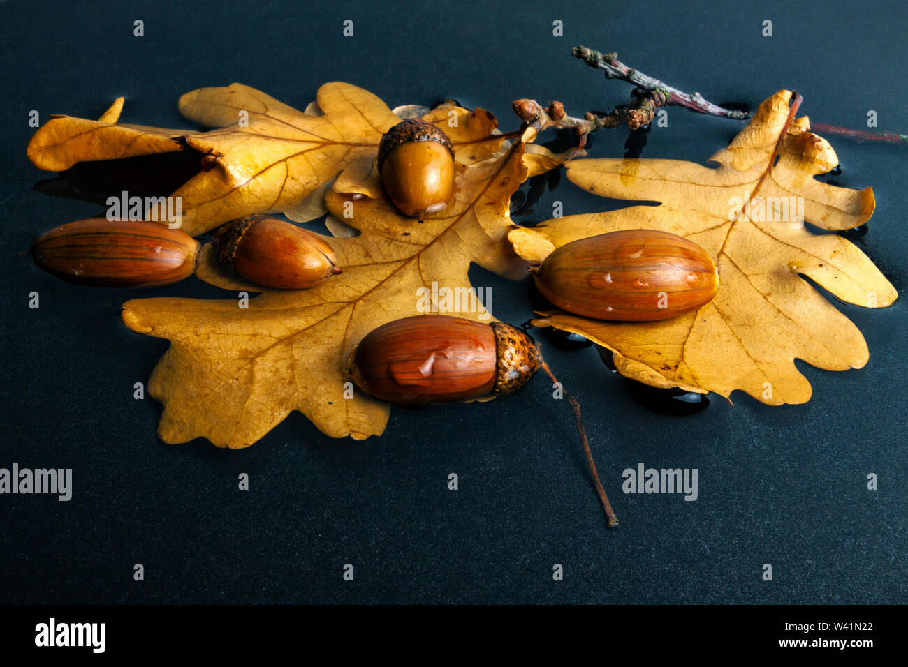 Acorns with oak leaves in the autumn lie in a puddle Stock Photo