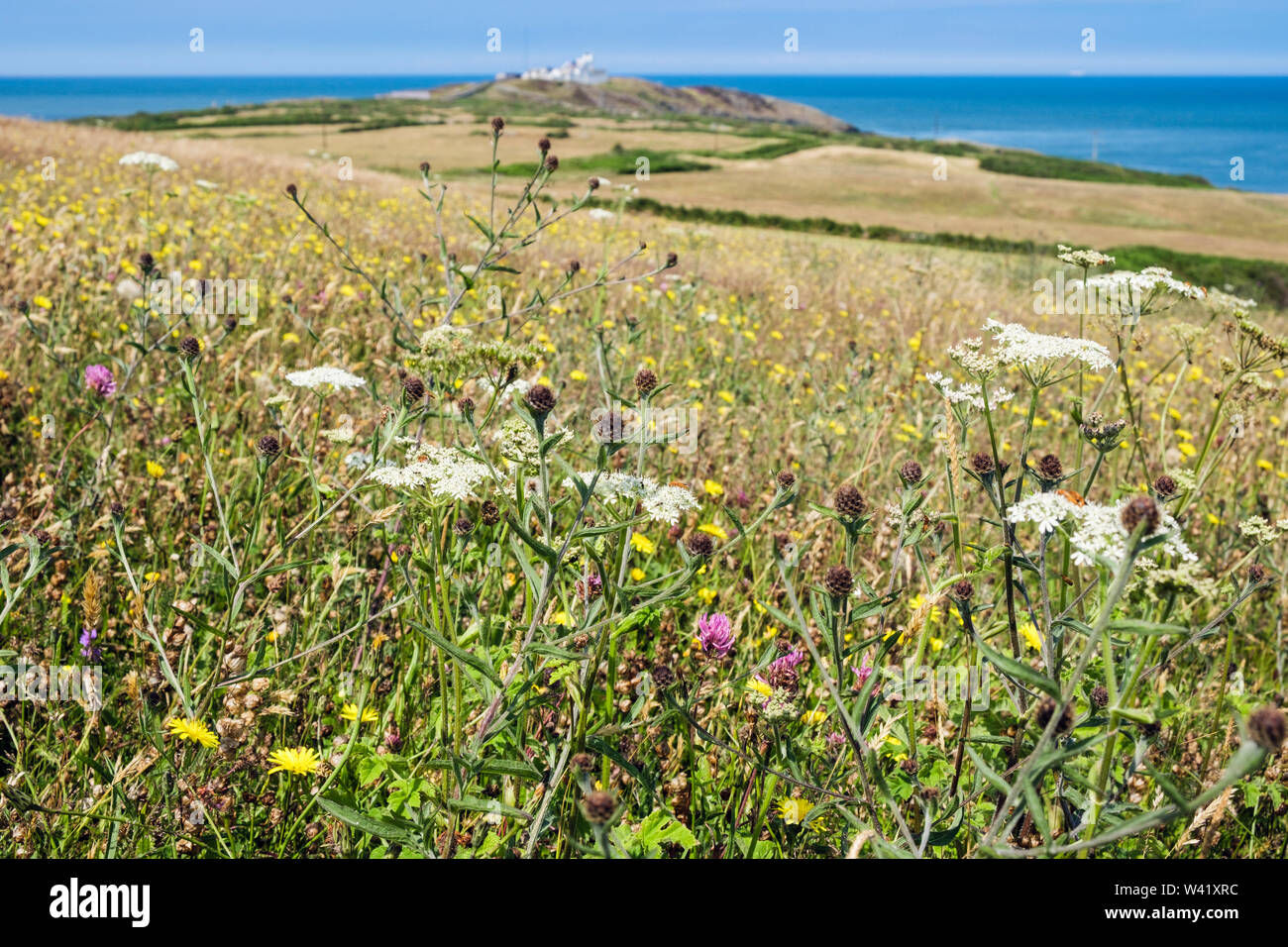 Wildflower meadow in summer with view to Point Lynas / Trwyn Eilian and coast . Llaneilian, Isle of Anglesey, north Wales, UK, Britain - Stock Image