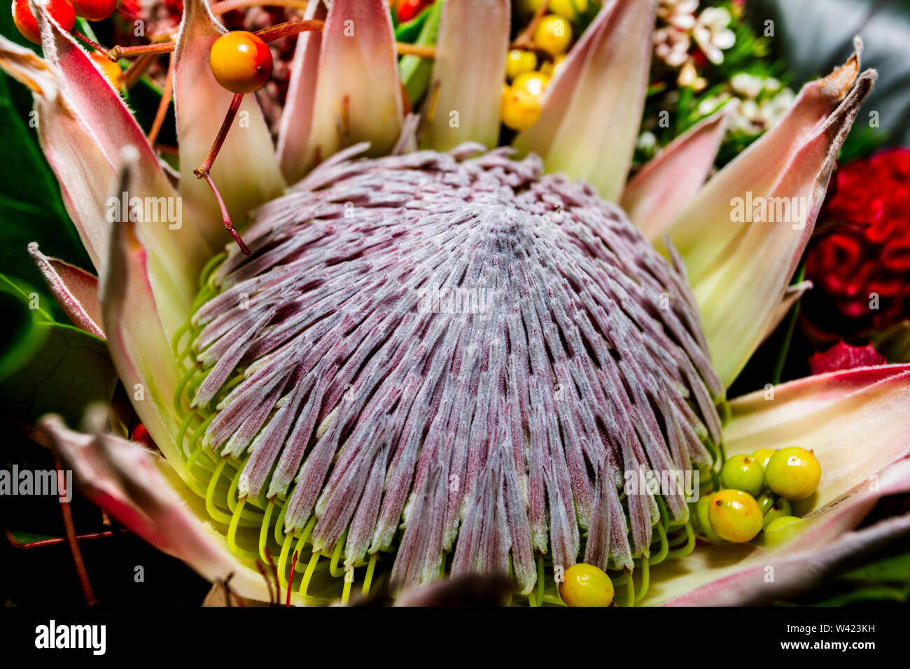 King Protea flower close up like a lotus and calls the national flower of Africa with a huge stigma around the fruits - Stock Image
