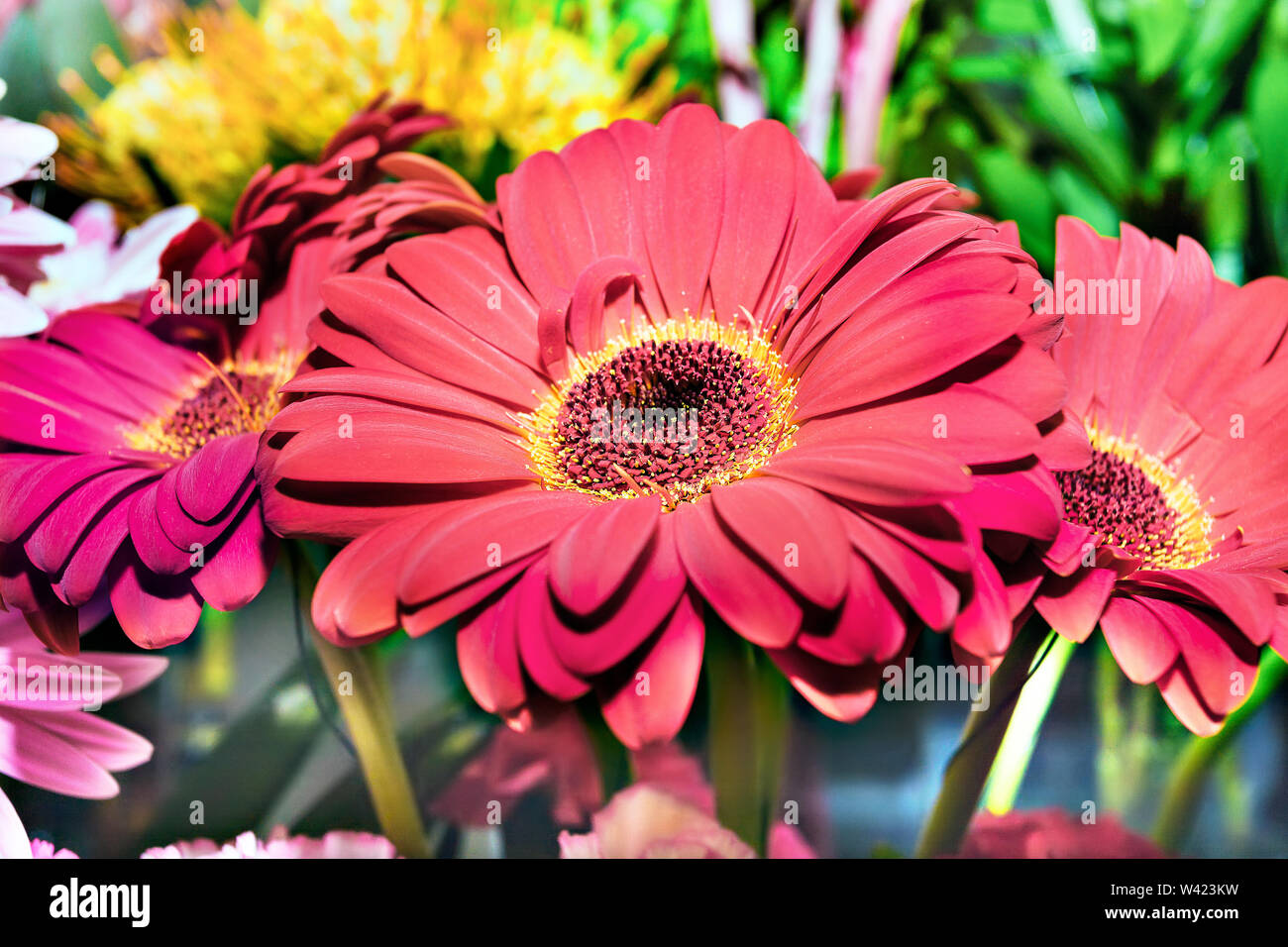 Three beautiful gerberas flowers close up with green blurred background, there is a yellow stigma on the red flowers - Stock Image