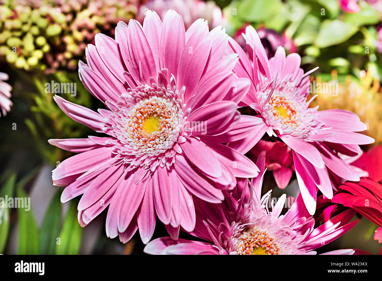 Pink gerberas flowers bunch in a gift shop closes up with a beautiful view of long petals in details - Stock Image