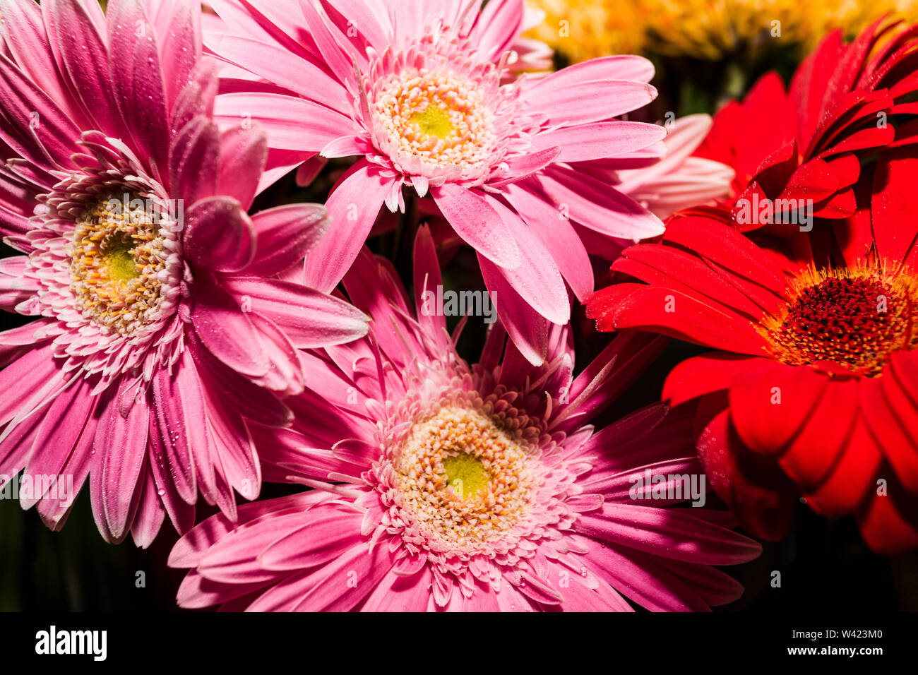 Pink and red bunch of flowers close up with long petals - Stock Image