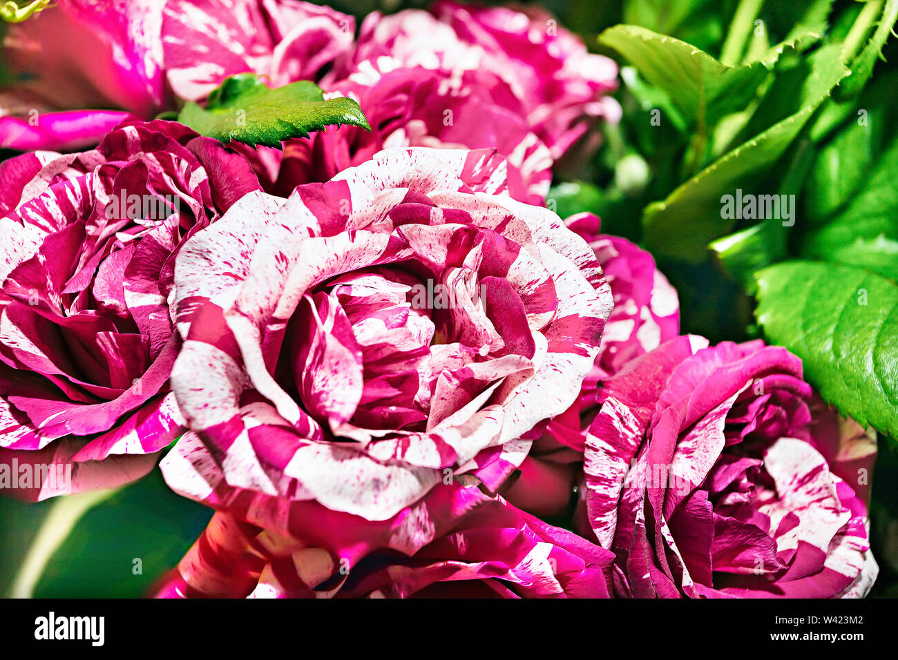 Dragon roses bunch closes up with green leaves around with details and bright colors - Stock Image