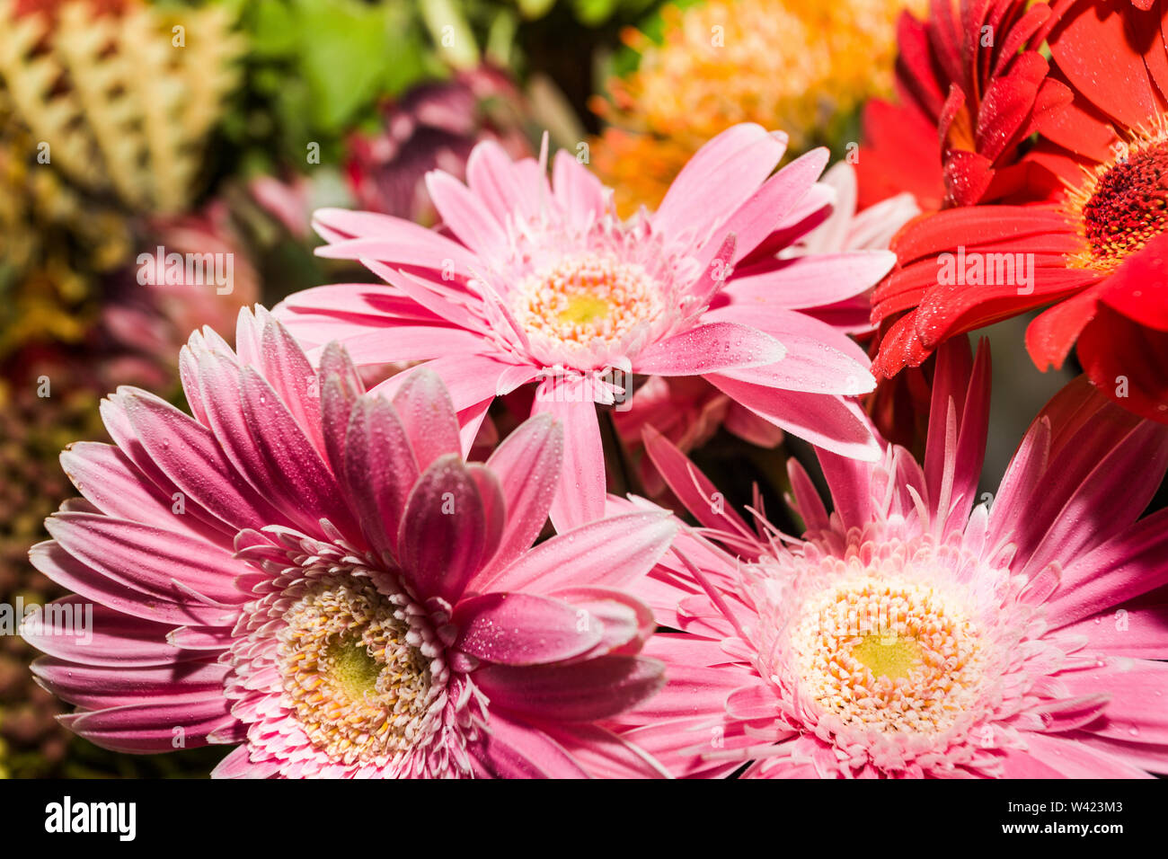Pink gerbera flower close up with water drops and blurred background with the details around the long petals - Stock Image