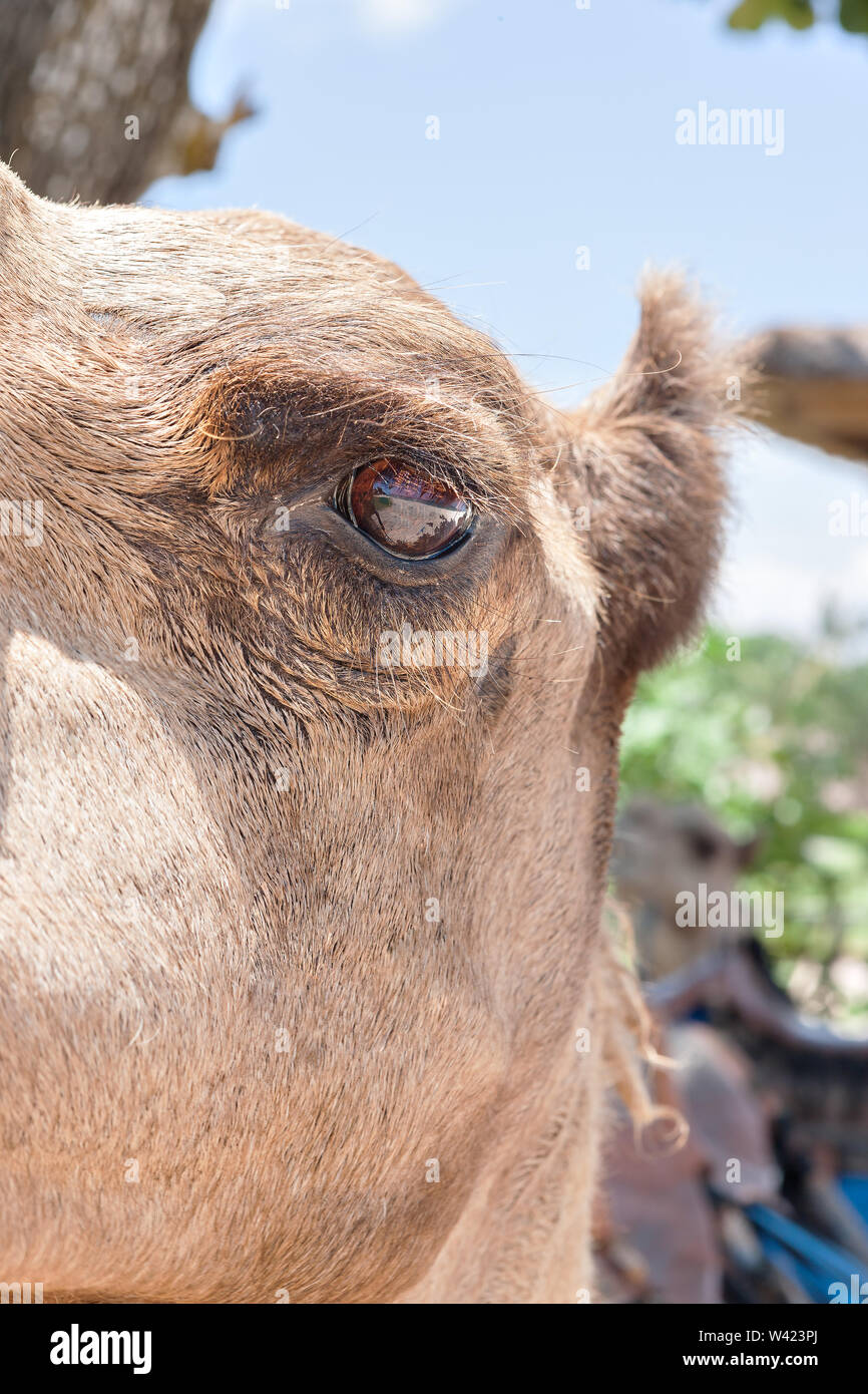 Camel eye open side closeup with the ear and head - Stock Image
