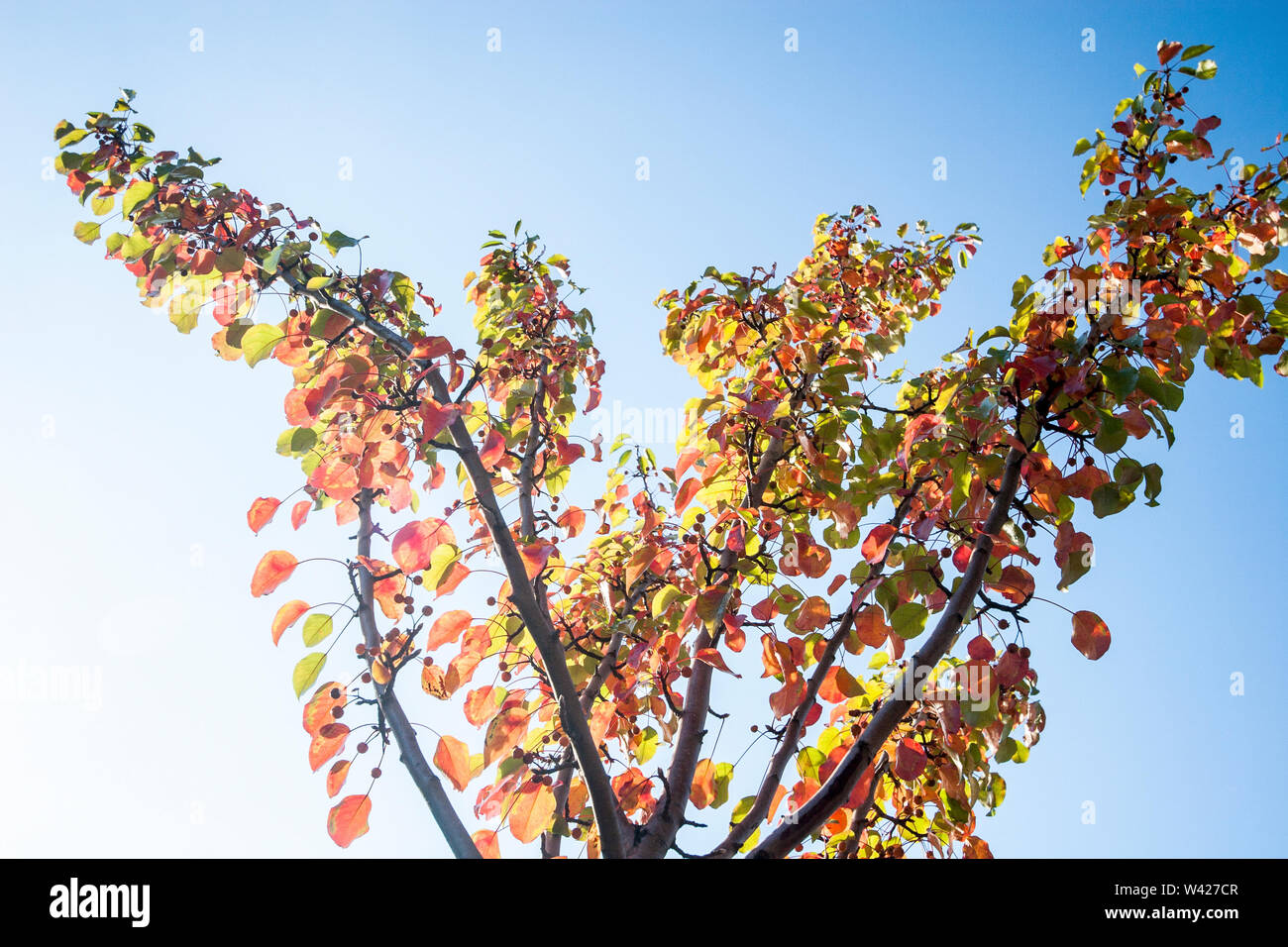 Green and red leafs on fruit tree, sky is blue color, sunlight around the area, natural looking plants, daytime scene. - Stock Image