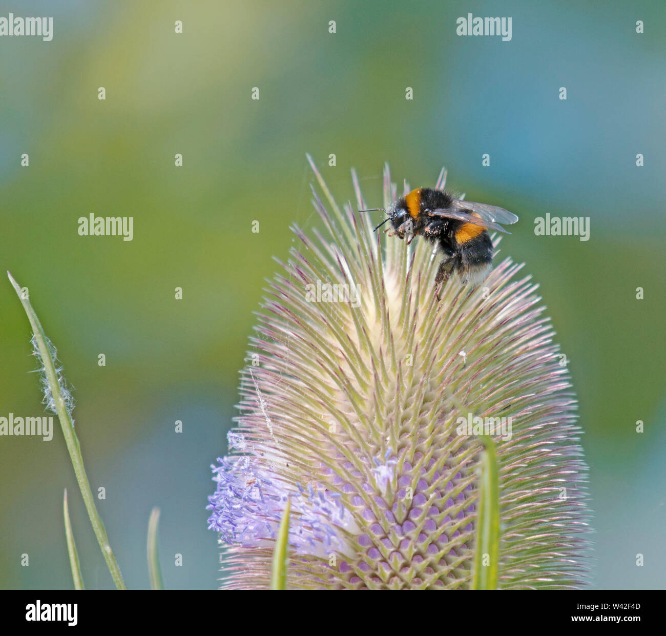 Bumble Bee, At Martin Mere Stock Photo