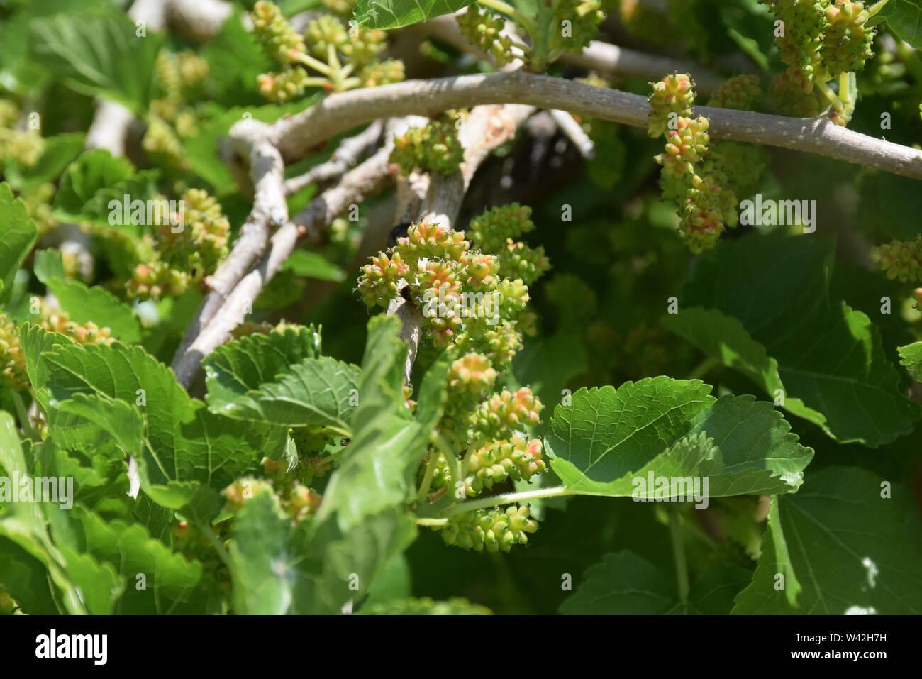 Samarkand grape tree in bloom - Stock Image