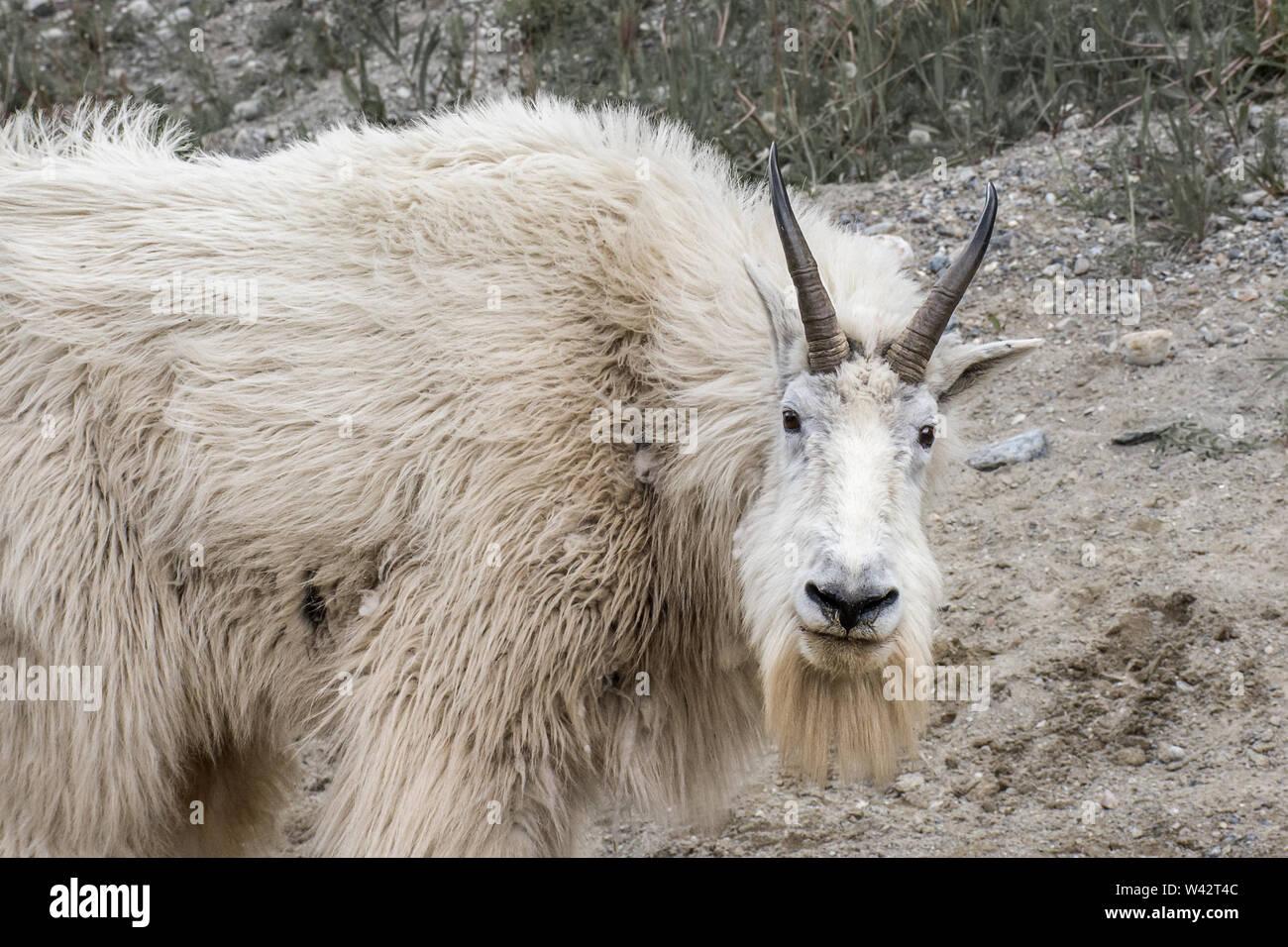 Mountain Goat - Stock Image