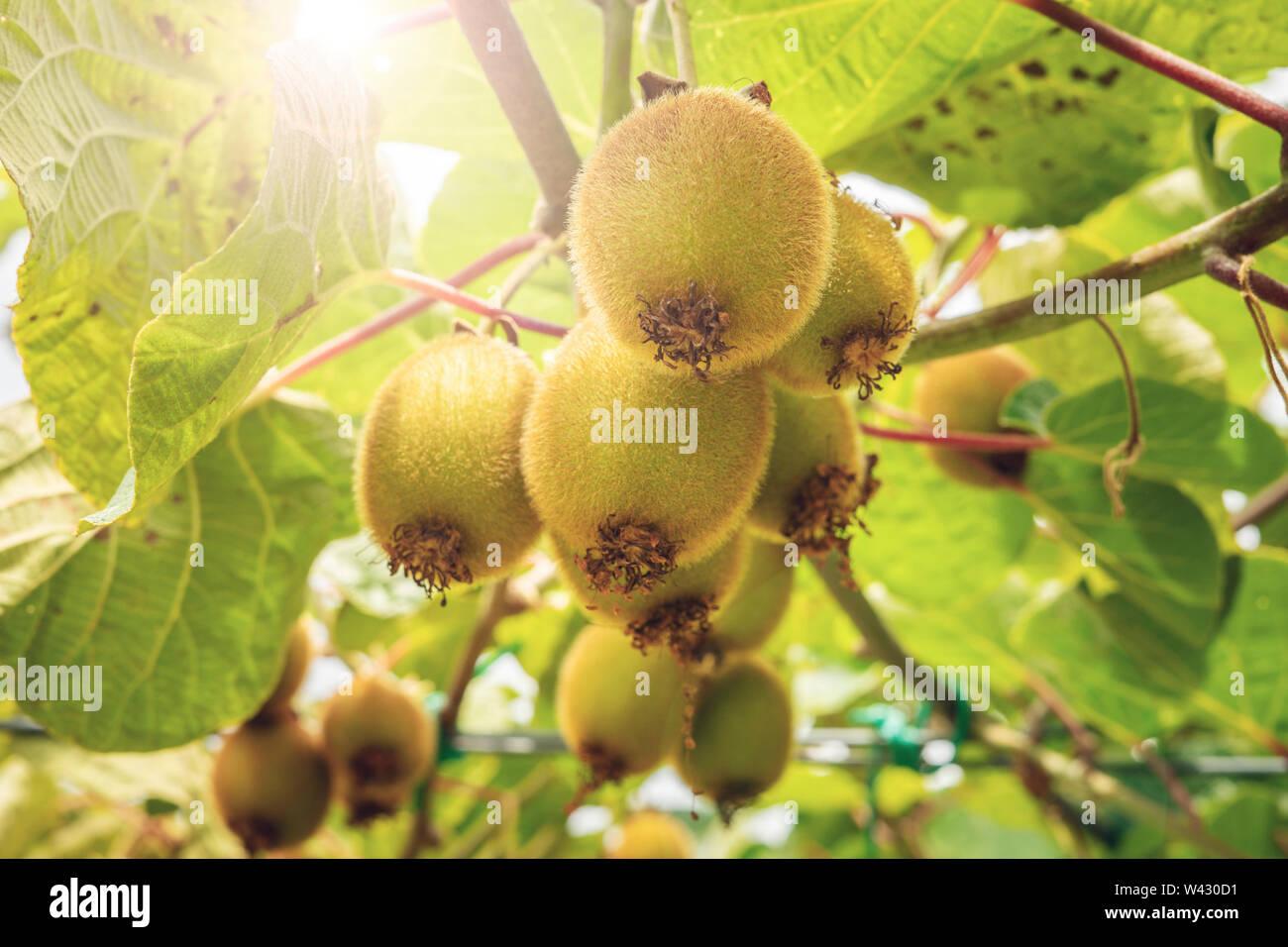 Fresh kiwi fruit on tree growing. Kiwifruit Actinidia - Stock Image