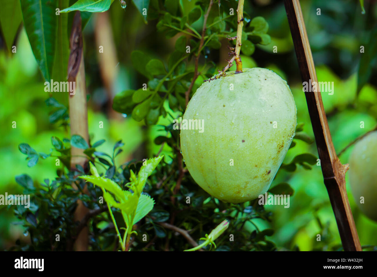 Fresh all season Bangladeshi Mango tree, Himsagar or Himshagar mango tree - Stock Image