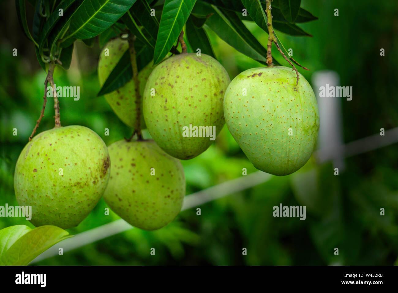 Green & Yellow King Size Bangladesh Himsagar mango Growth Kashmir Mango. Tree with mango fruits hanging from branches in a garden. Selective focus. - Stock Image