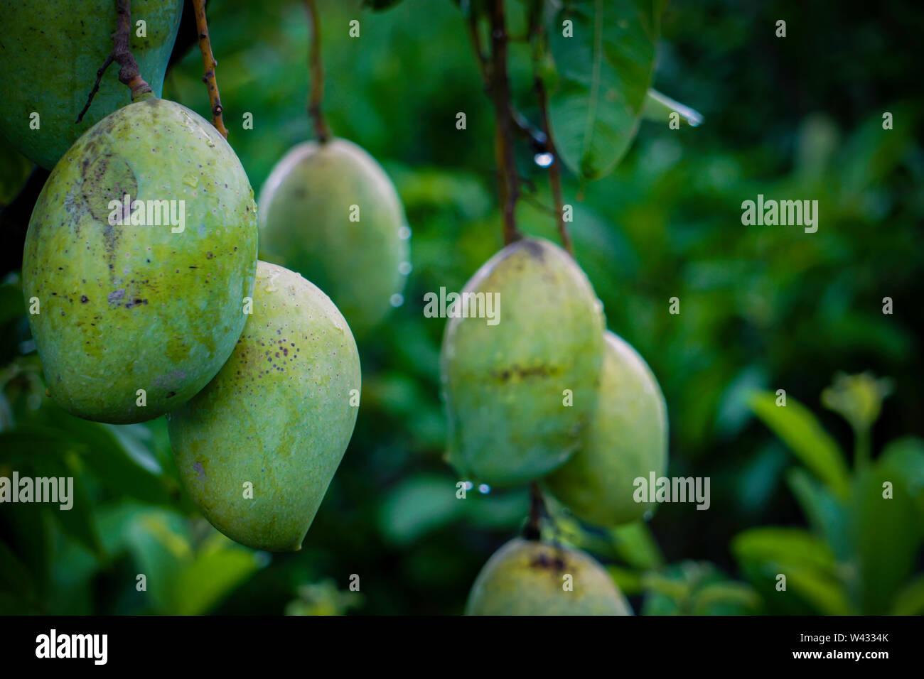 Tree with mango fruits hanging from branches in a garden. Selective focus.. Green Fresh Big Size Bangladeshi Mango, Rajshahi Langra Mango or Amropali - Stock Image