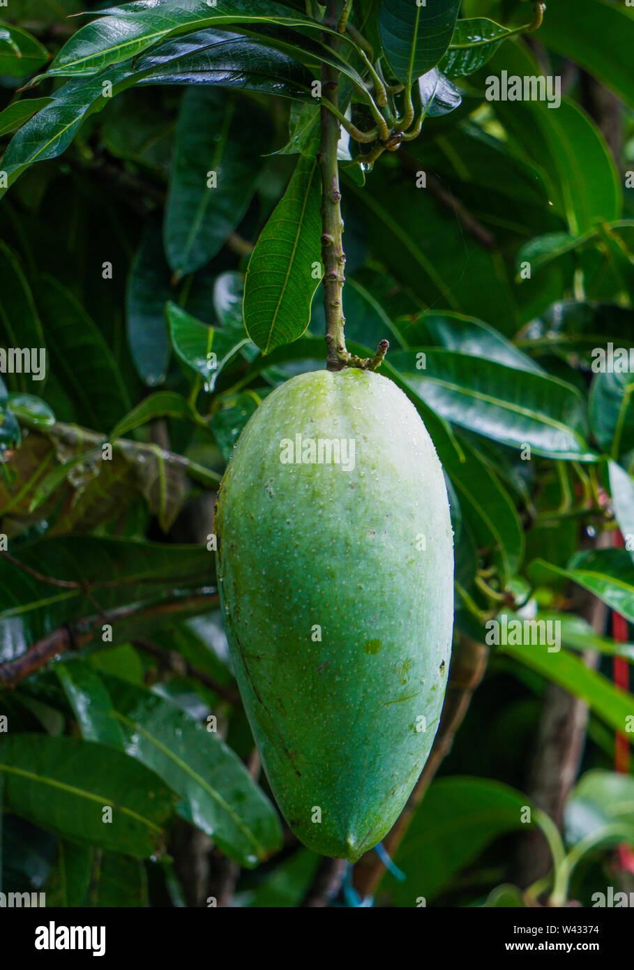 Green King Size Bangladeshi Maldaha Mango, Chapainawabganj gets New Mango - Stock Image