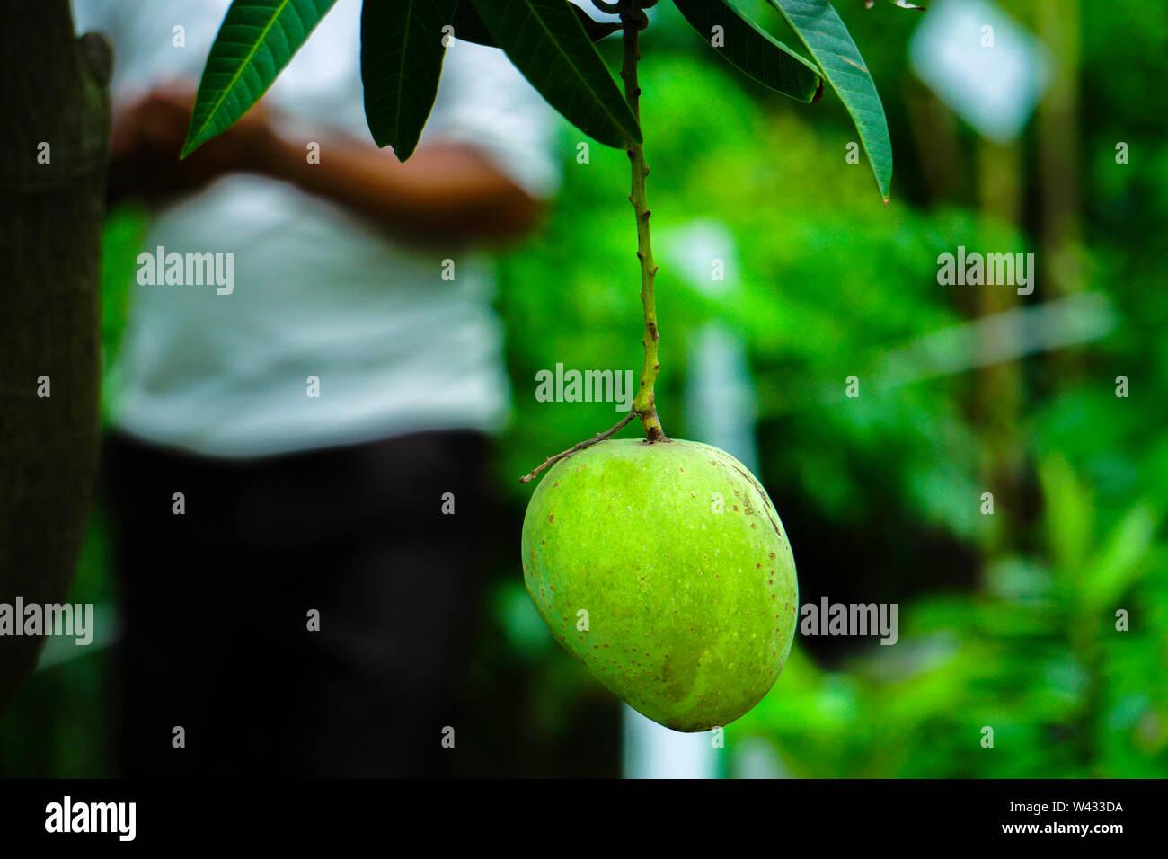 Sweet Fresh Himsagar mango Hanging on the tree - Stock Image