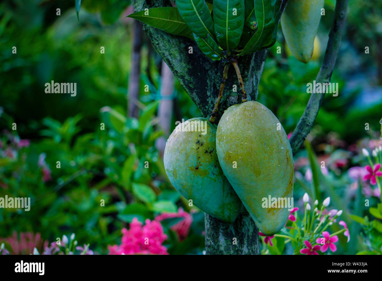 Fresh all season Bangladeshi Mango Plant, Mango tree, Fojli aam, fajlee mango - Stock Image
